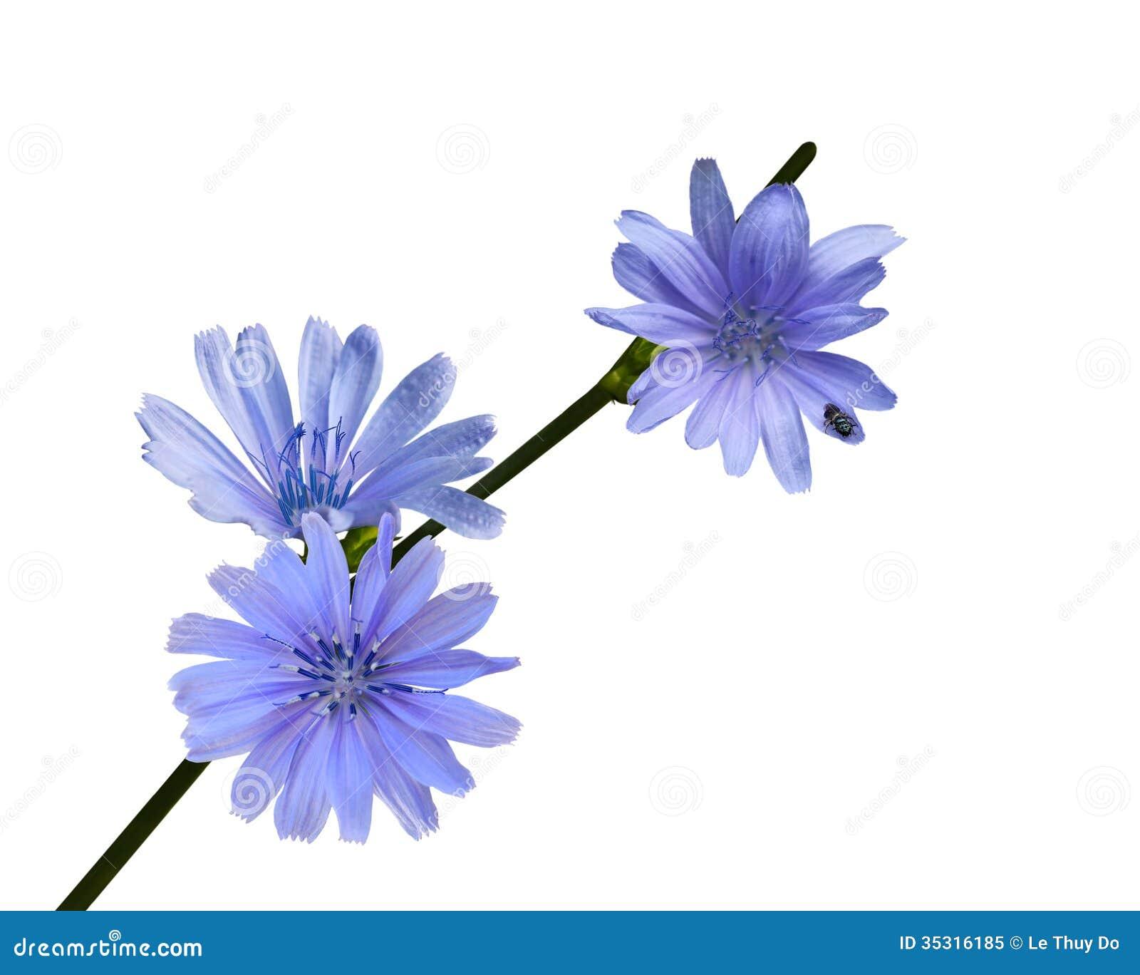 Wildflower da chicória