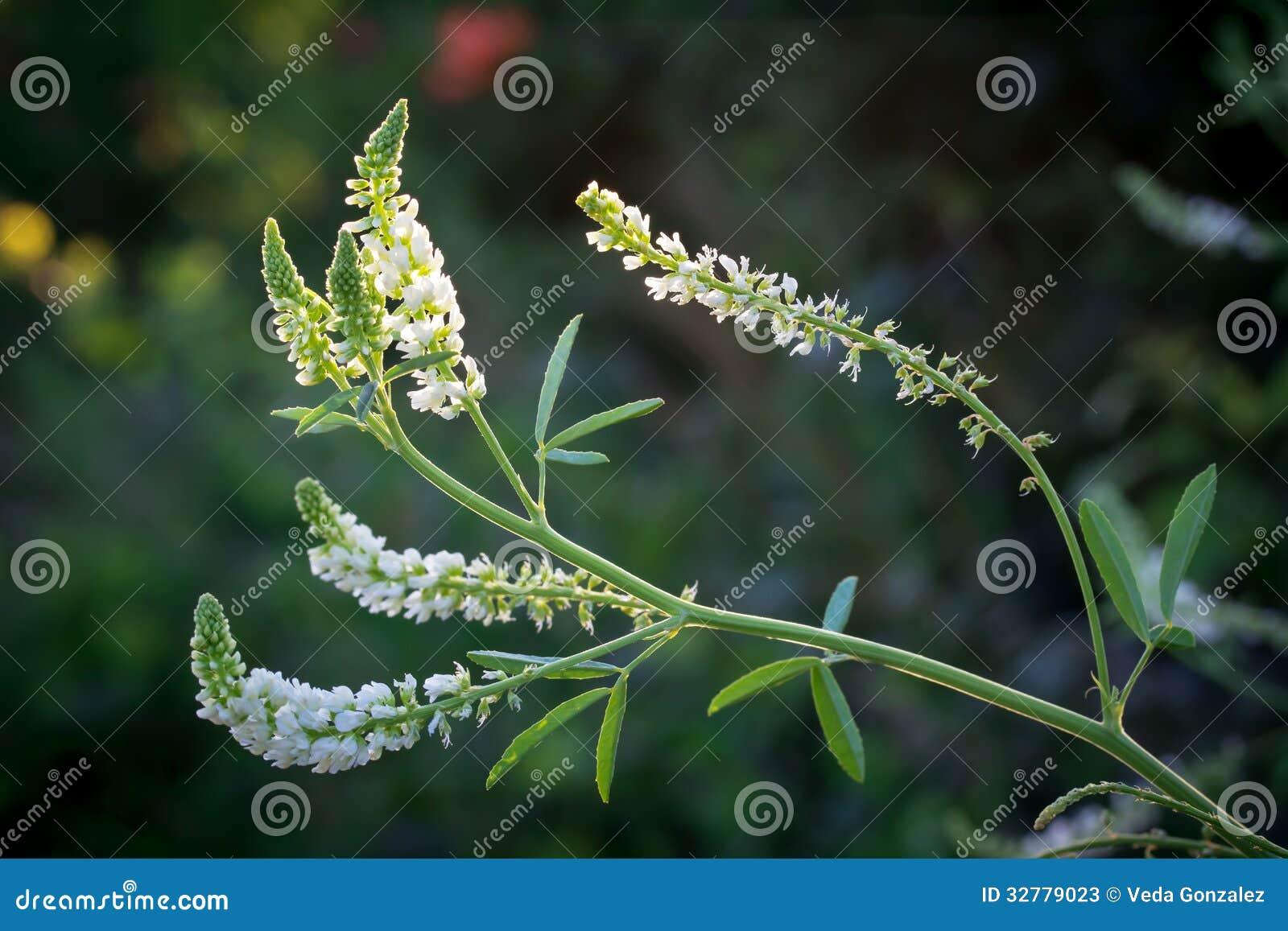 Wildflower de Missouri