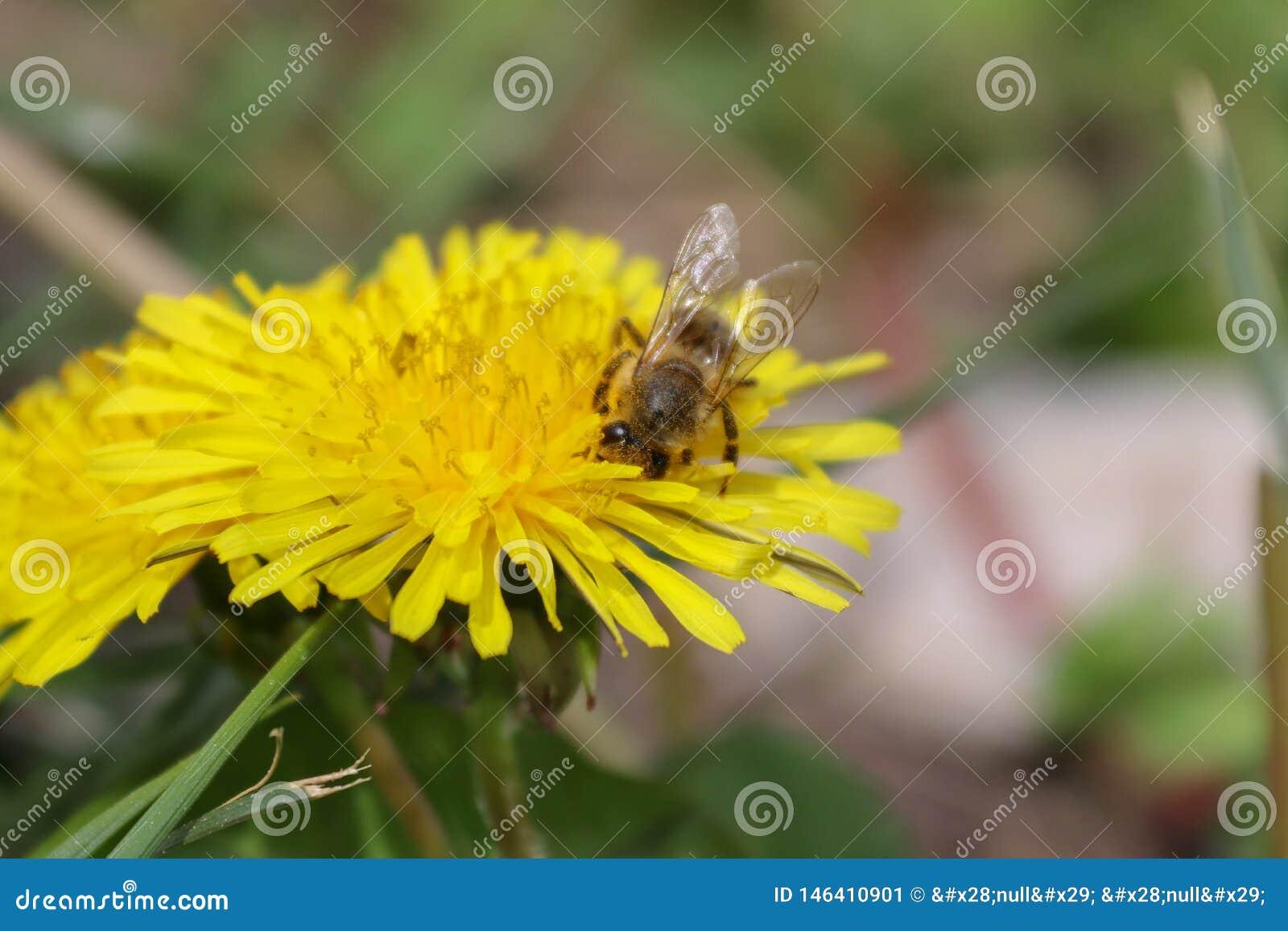 Wildflower, flor amarela, dente-de-le?o e abelha