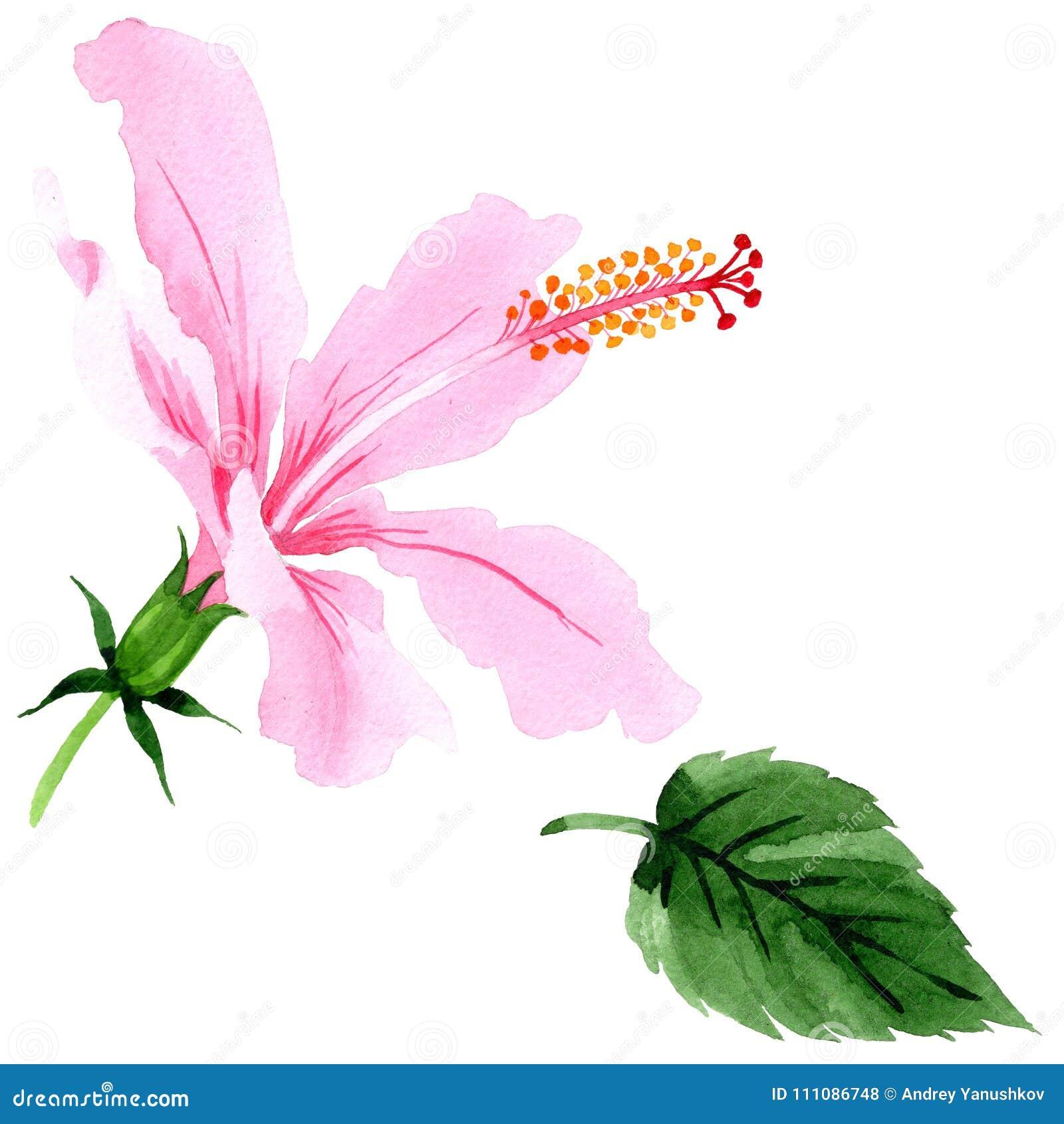 Wildflower hibiscus pink flower in a watercolor style isolated wildflower hibiscus pink flower in a watercolor style isolated full name of the plant hibiscus aquarelle wild flower for background texture izmirmasajfo