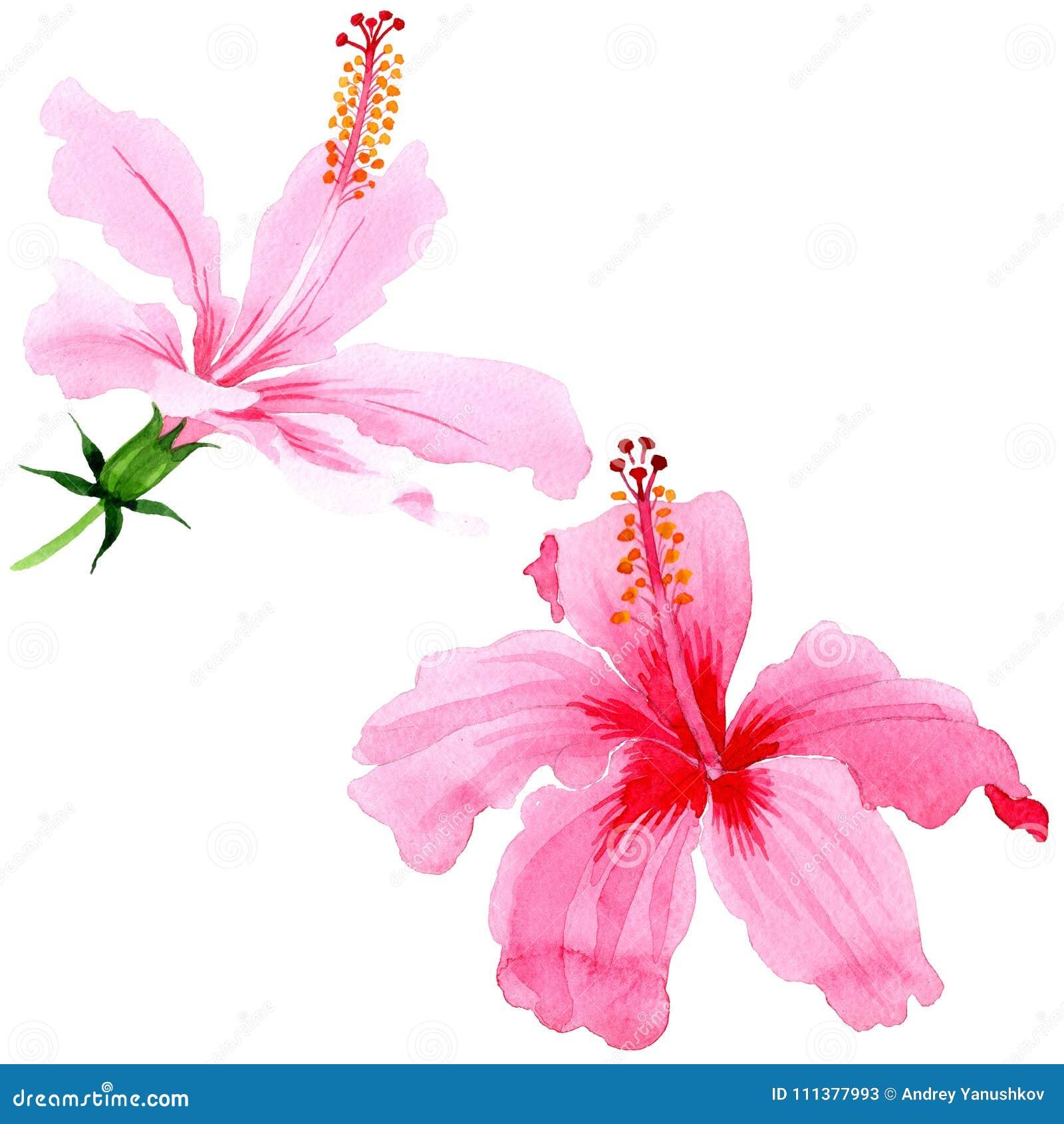 Wildflower hibiscus pink flower in a watercolor style isolated wildflower hibiscus pink flower in a watercolor style isolated full name of the plant hibiscus aquarelle wild flower for background texture mightylinksfo