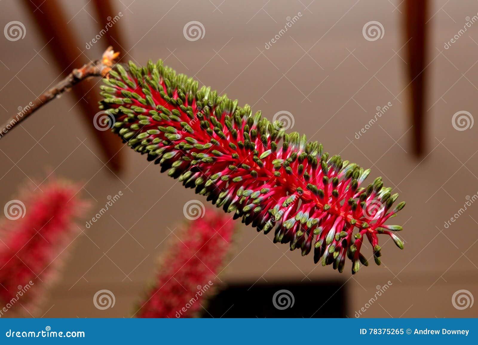 Wildflower nativo australiano - Banksia