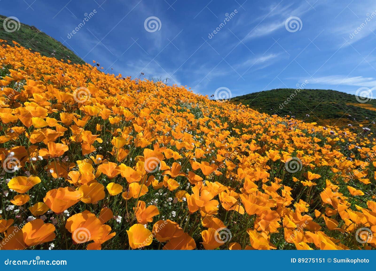 Wildflower no lago Elsinore