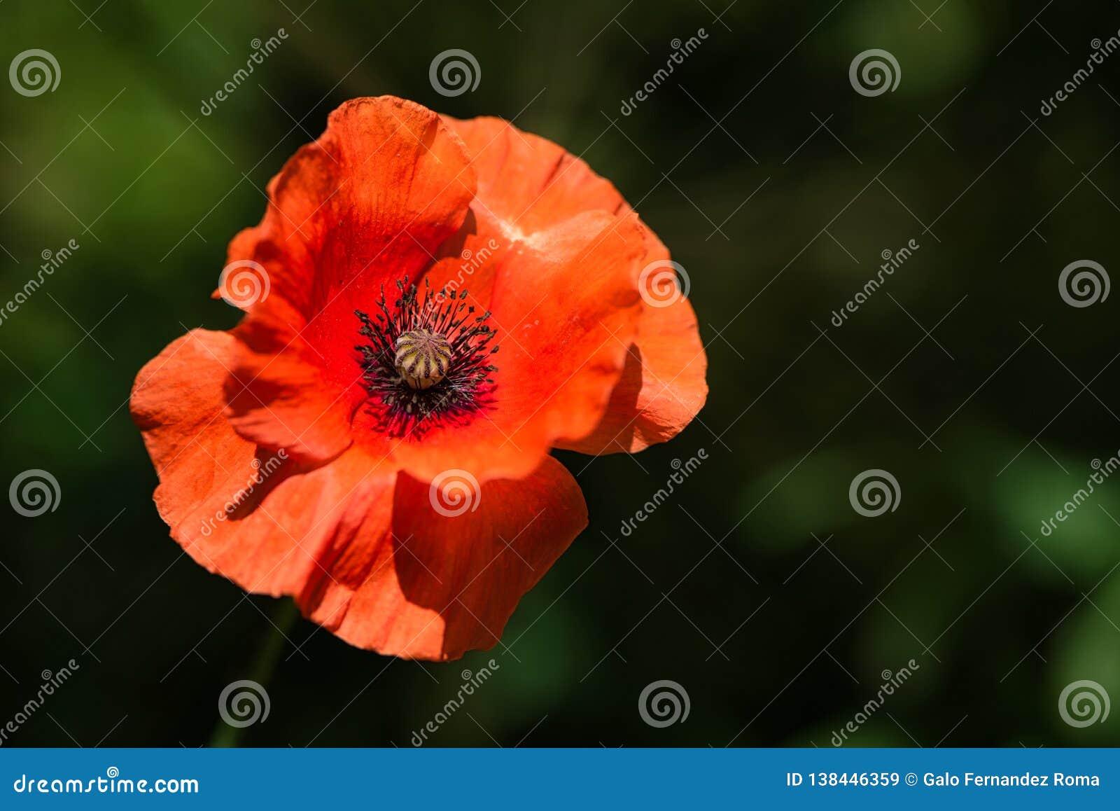 Wildflower Orange Poppy Flower in the wind on a green spring meadow.