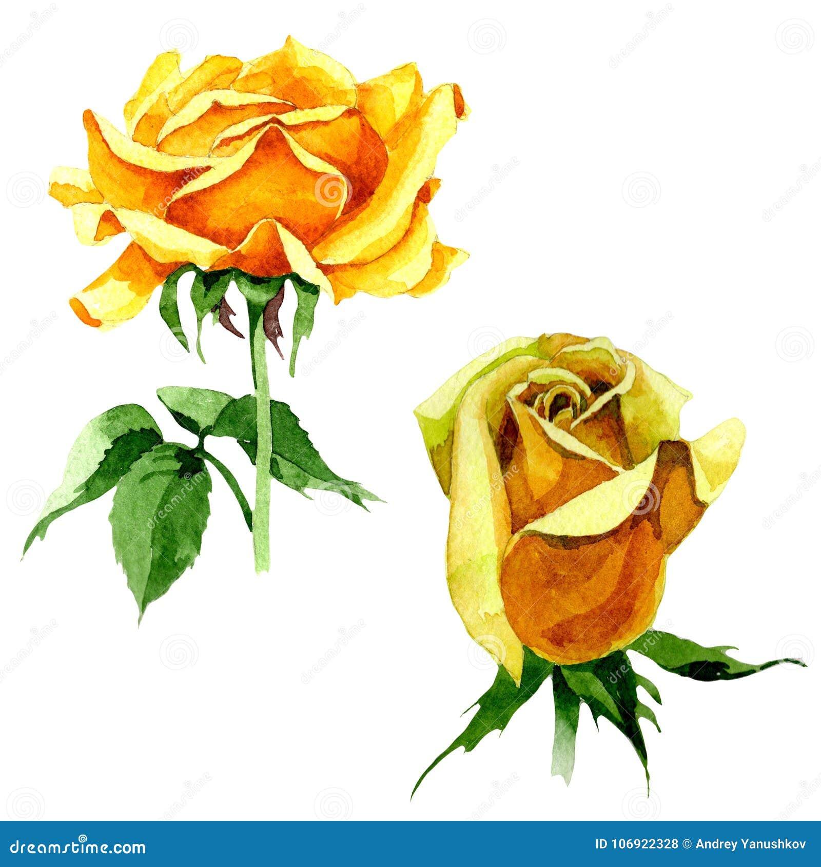 Wildflower róży kwiat w akwarela stylu odizolowywającym