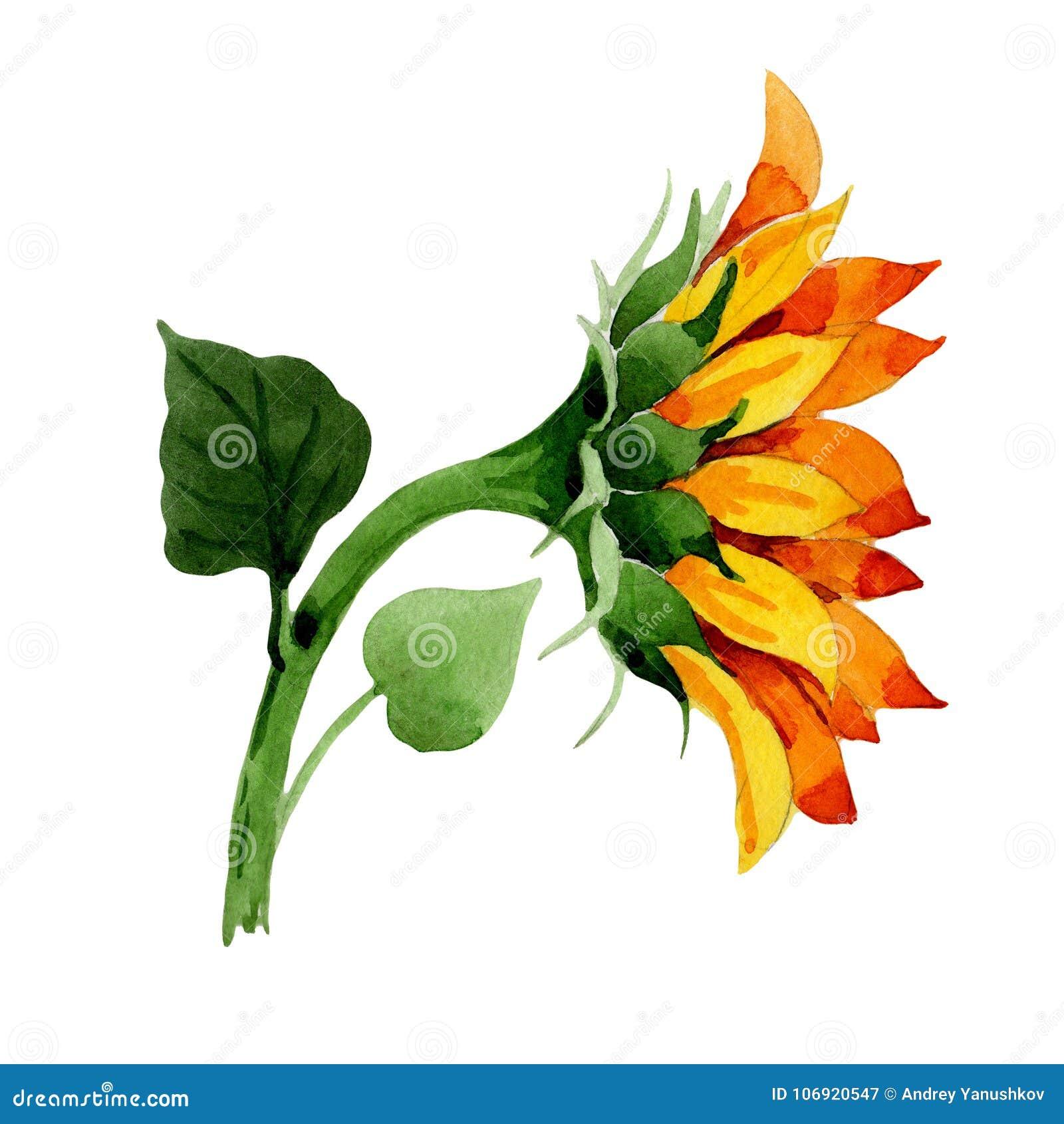 Wildflower słonecznikowy kwiat w akwarela stylu odizolowywającym