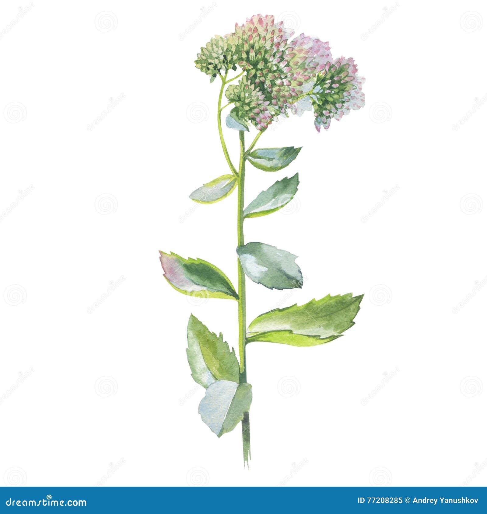 Wildflowerblume Livelong in einer Aquarellart lokalisiert