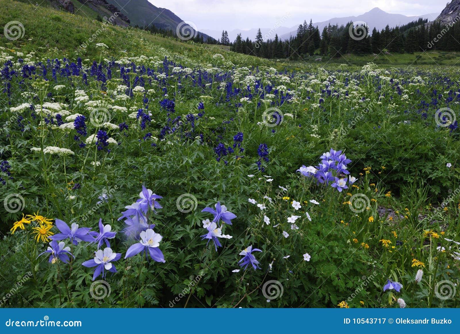 Wildflowers βουνών SAN του Κολοράντο