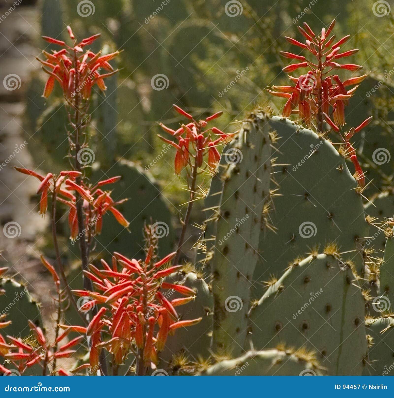 Wildflowers ερήμων