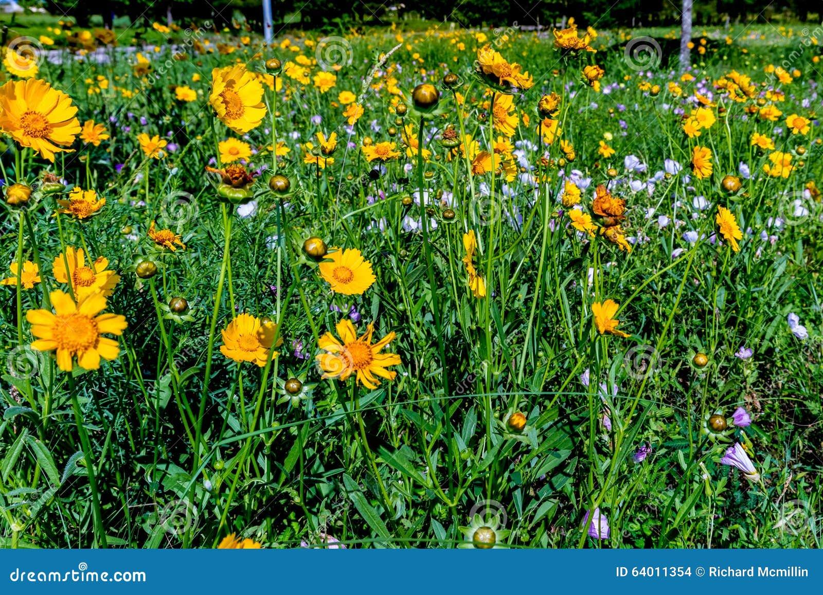 Wildflowers amarelos brilhantes bonitos de Lanceleaf Coresopsis em um Fi