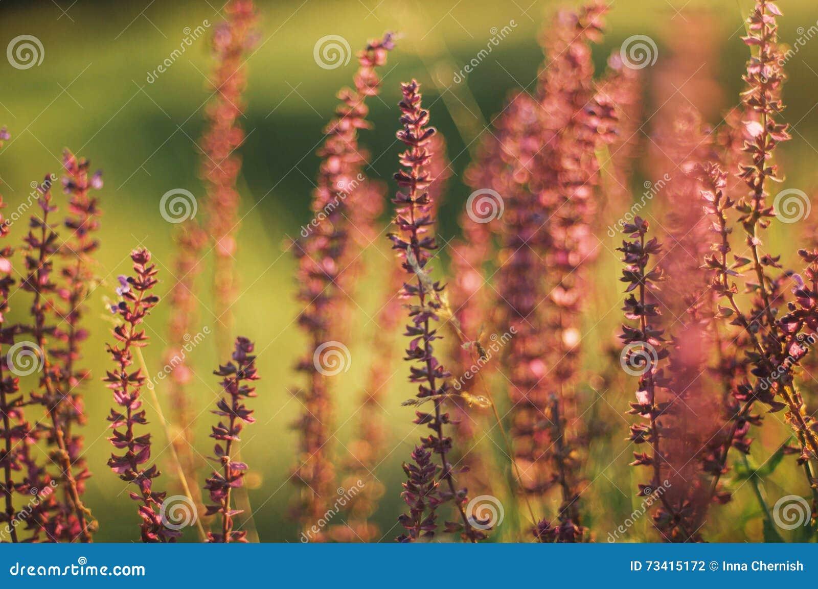 Wildflowers bij zonsondergang Gebied met wilde bloemen klein purper w