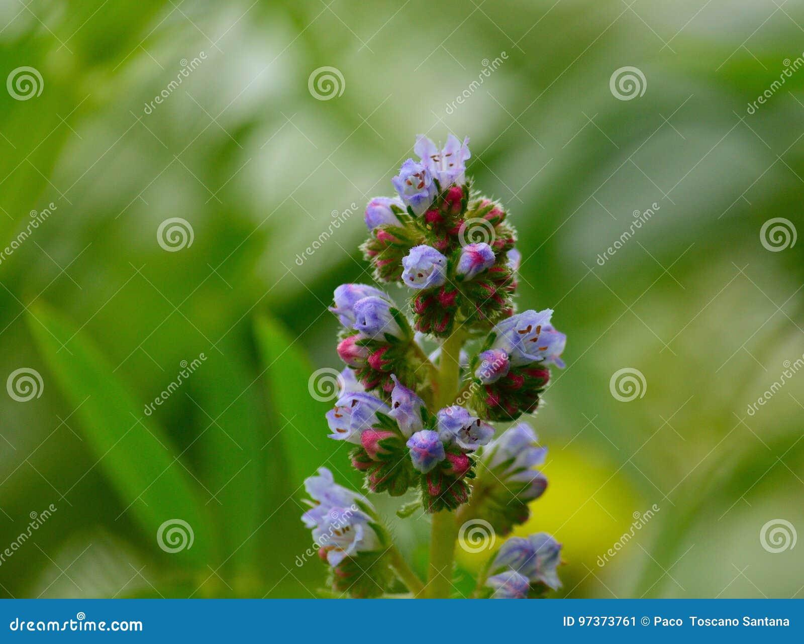 Wildflowers in der vollen Pracht, Echium strictum