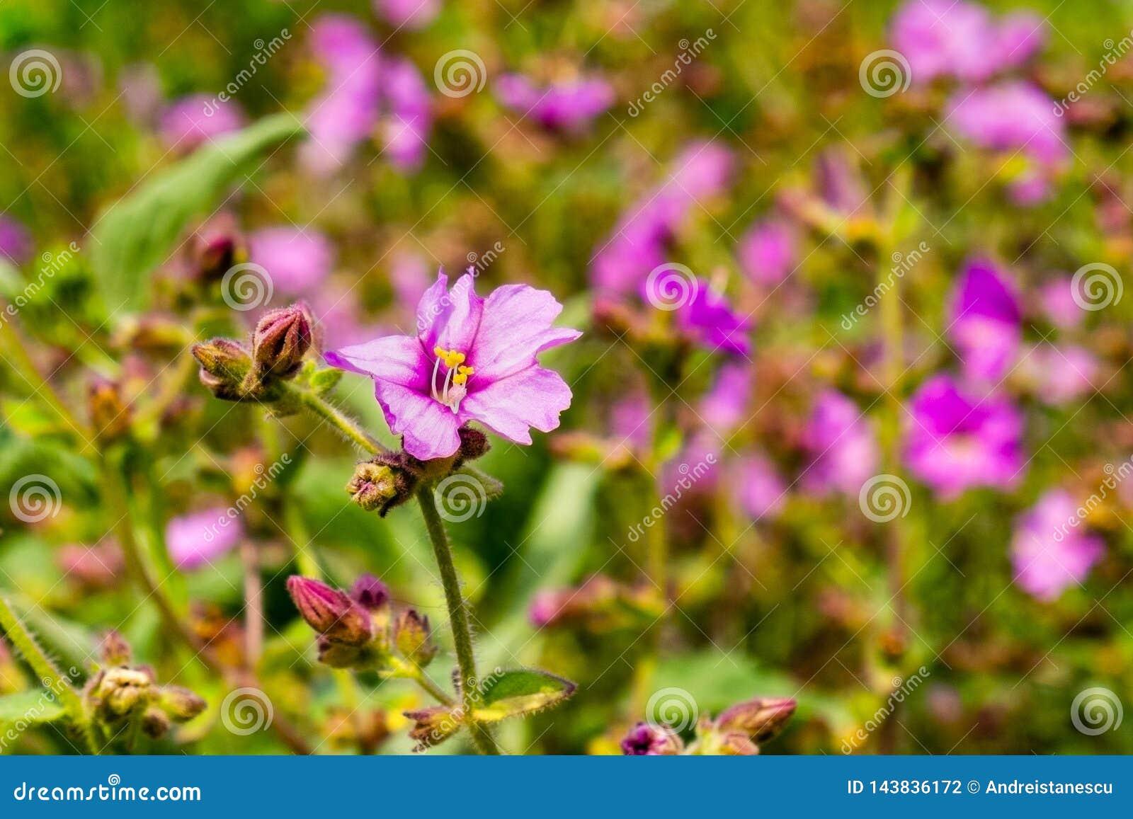Wildflowers dos laevis do Mirabilis do arbusto do ossinho da sorte do deserto que florescem em Walker Canyon, lago Elsinore, Cali