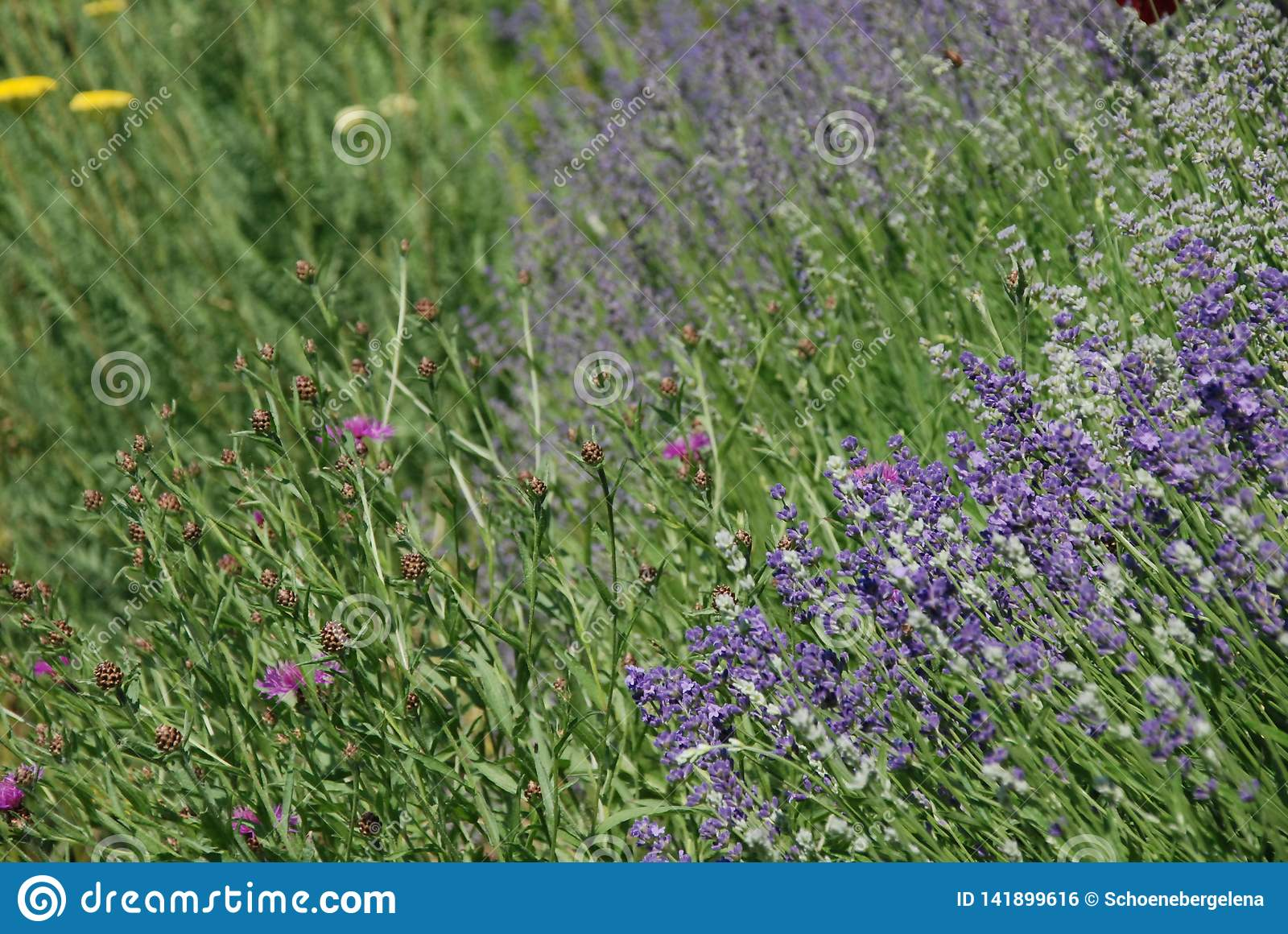 Wildflowers en Lavendel het bloeien