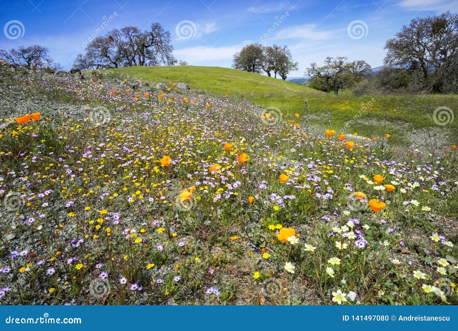 Wildflowers Fields Henry W Coe State Park San Francisco Bay