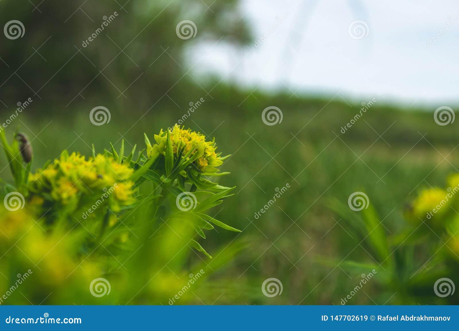 Wildflowers gialli La primavera ? venuto