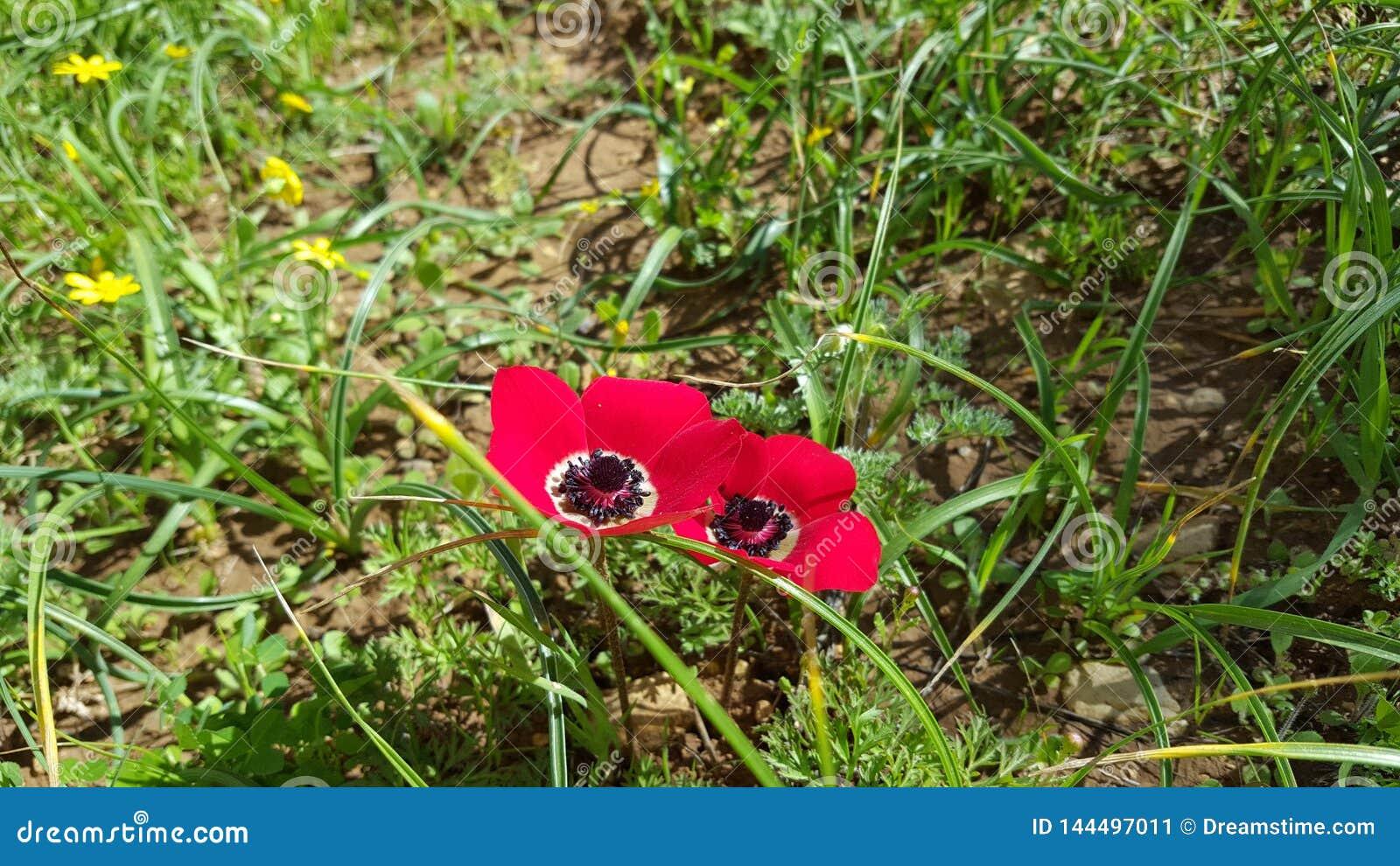 Wildflowers hermosos en Israel