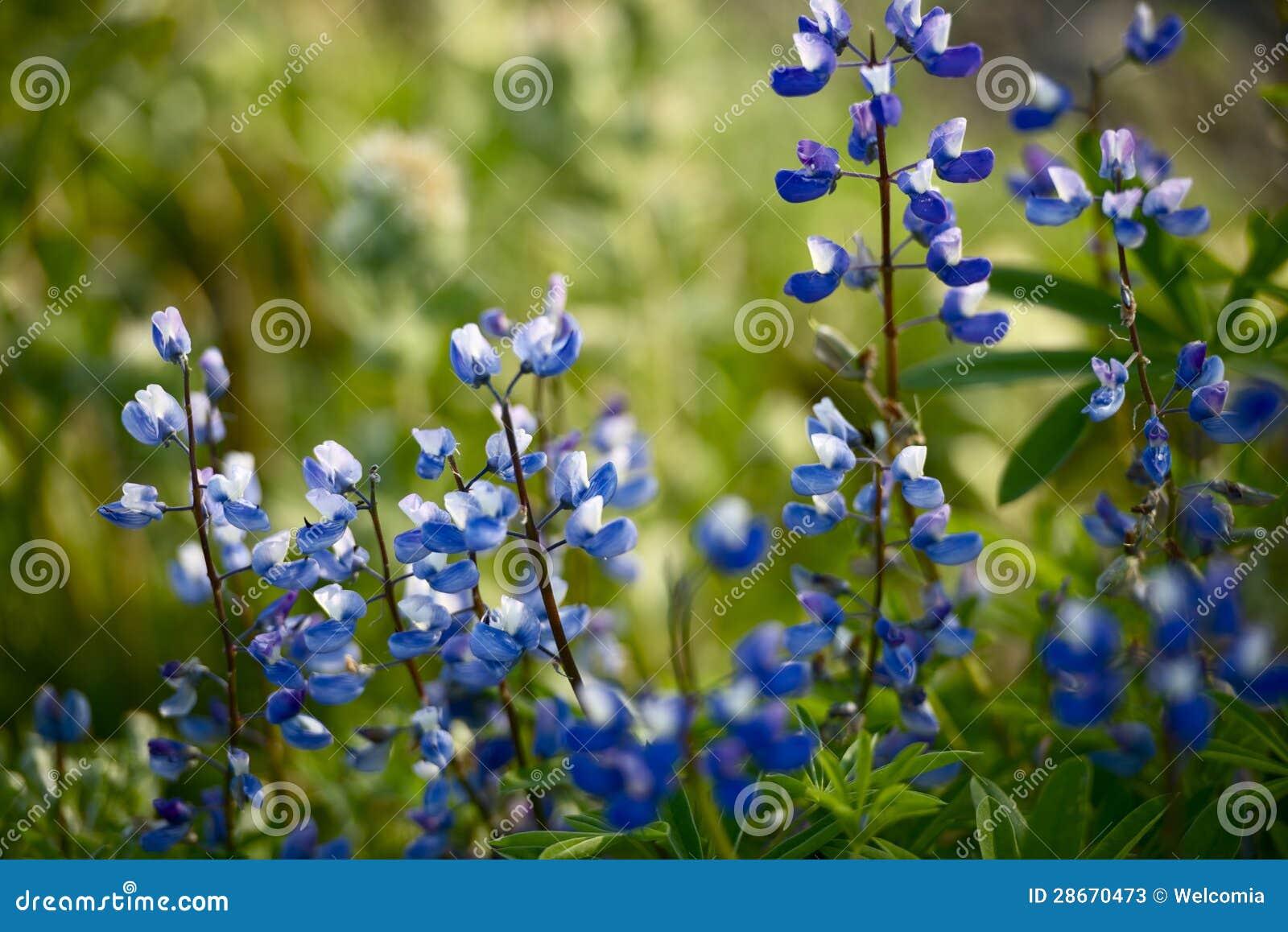 Wildflowers: Lupine azul
