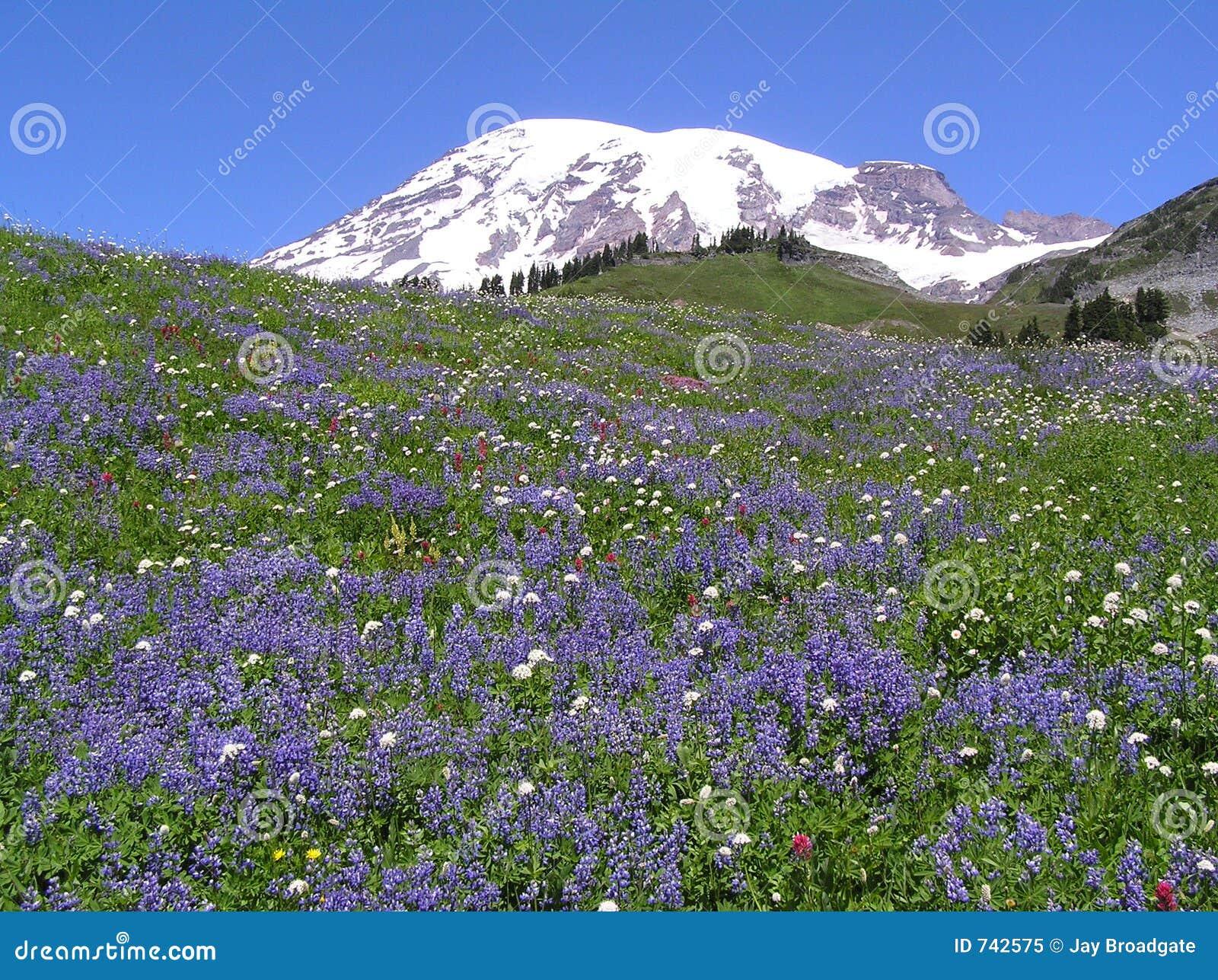 Wildflowers no Mt. mais chuvoso