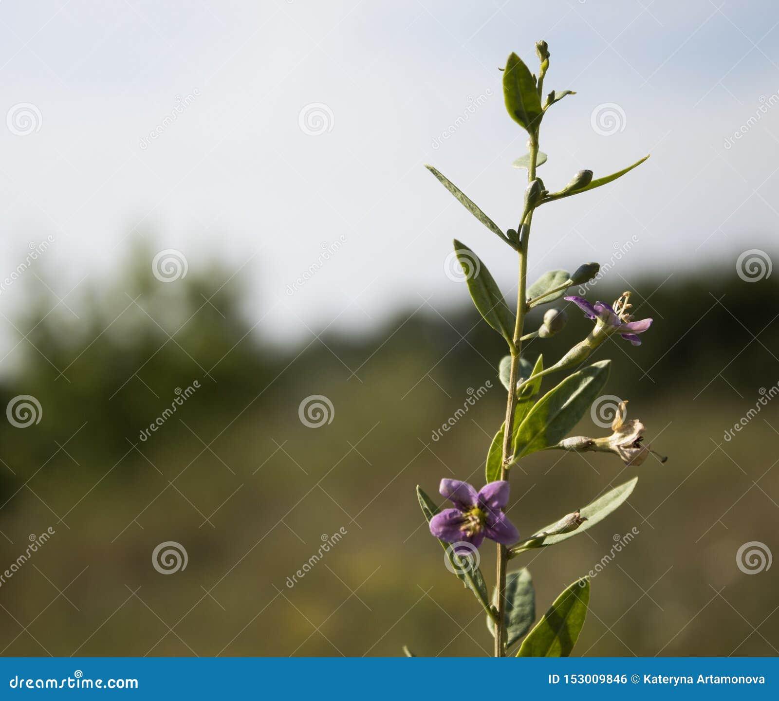 Wildflowers pequenos azuis Com folhas verdes Vista lateral