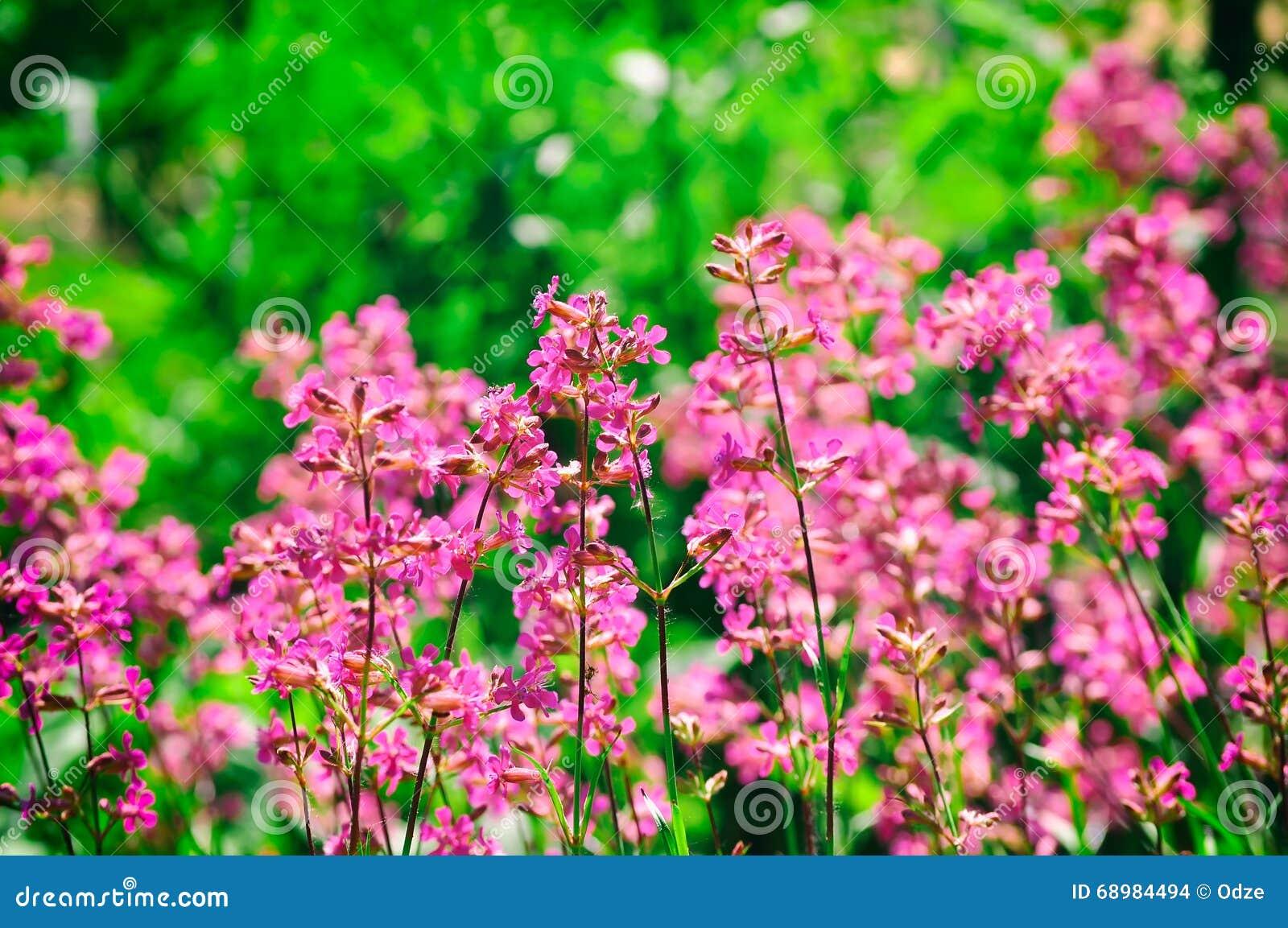 Wildflowers rosados del verano en prado