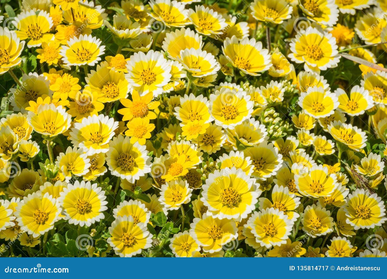 Wildflowers van Layiaplatyglossa riepen algemeen kusttidytips, die op de Vreedzame Oceaankust, Mori Point, Pacifica bloeien,
