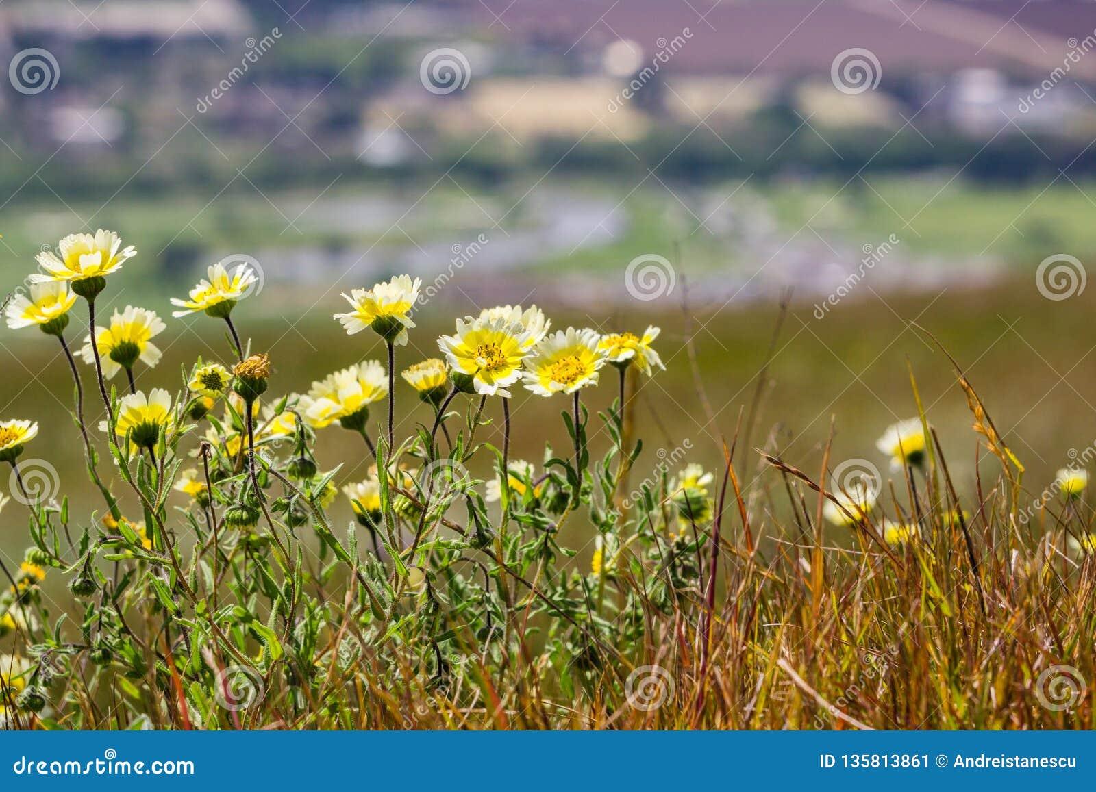 Wildflowers van Layiaplatyglossa riepen algemeen kusttidytips die op een heuvel groeien; vage stad op de achtergrond, Californië