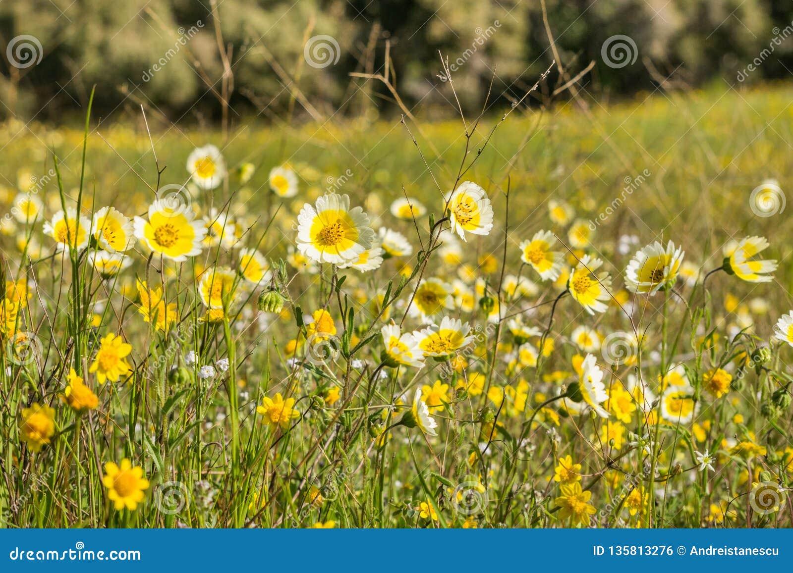 Wildflowers van Layiaplatyglossa riepen algemeen kusttidytips op gebied, Californië