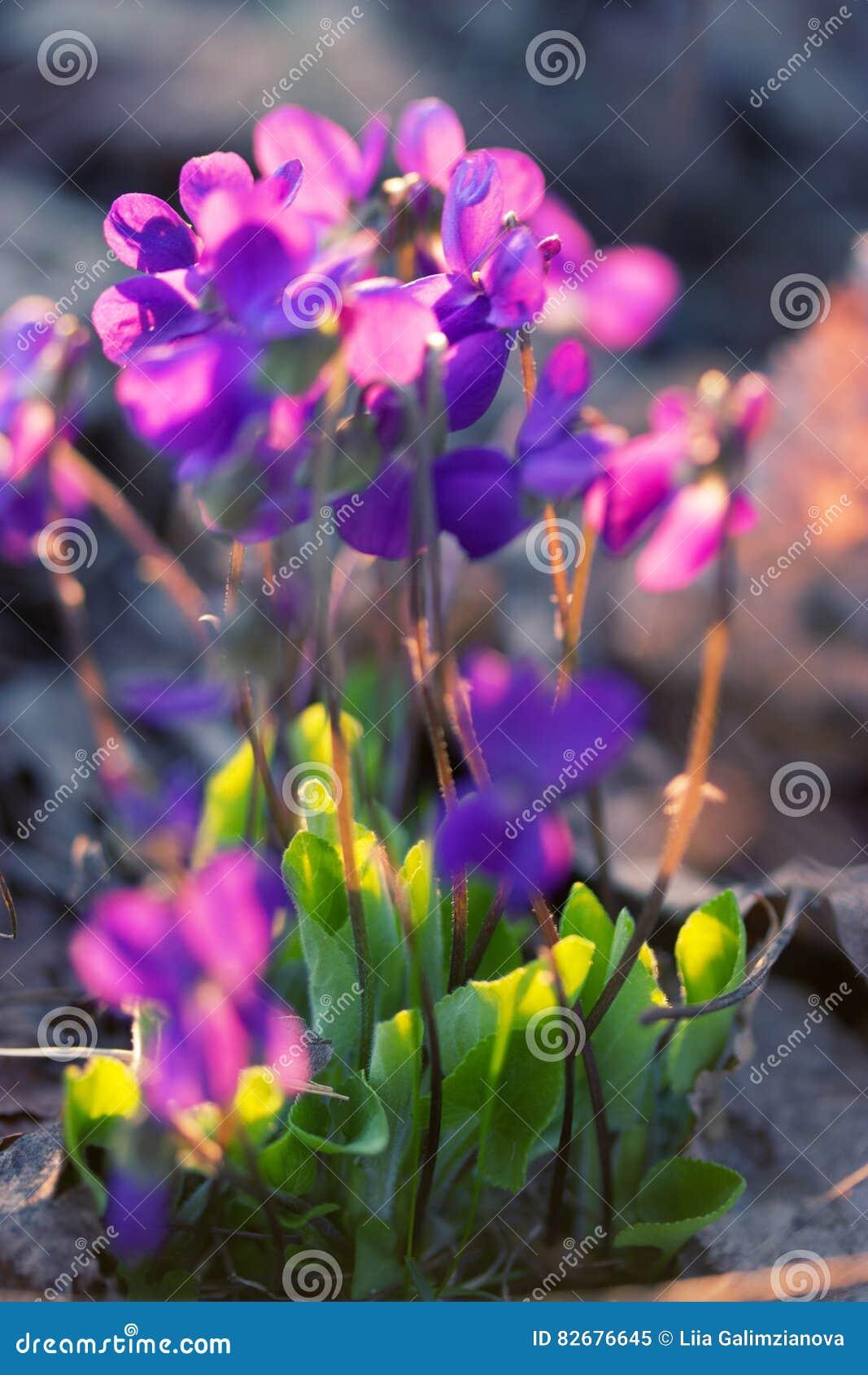 Wildflowers violets regardant la pensée de Loke