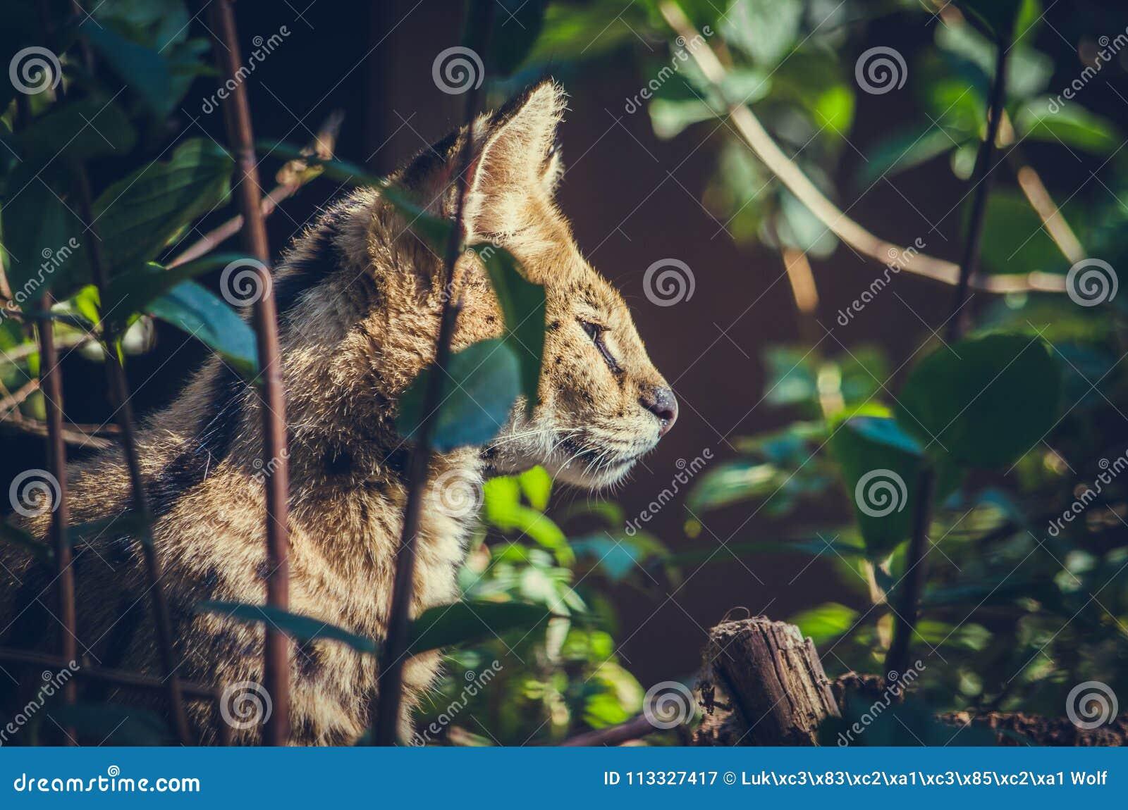 Wildkatze auf Jagd