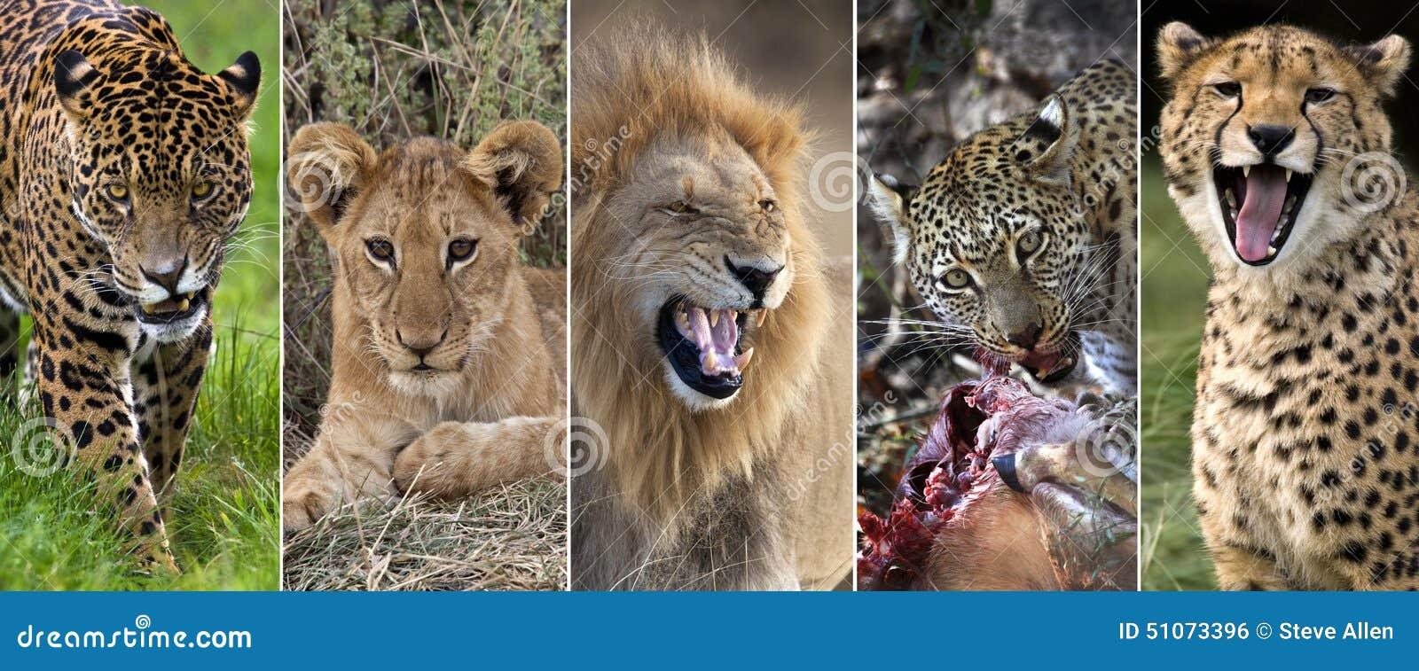 Wildlife - Big Cats