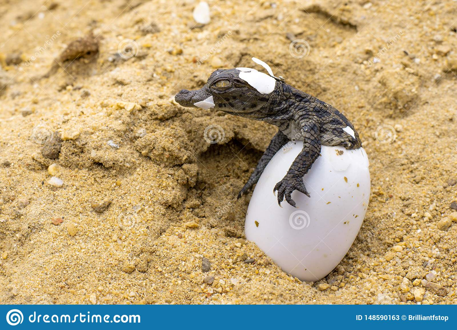 WILDLIFE: CROC BORN TO BE FEARED