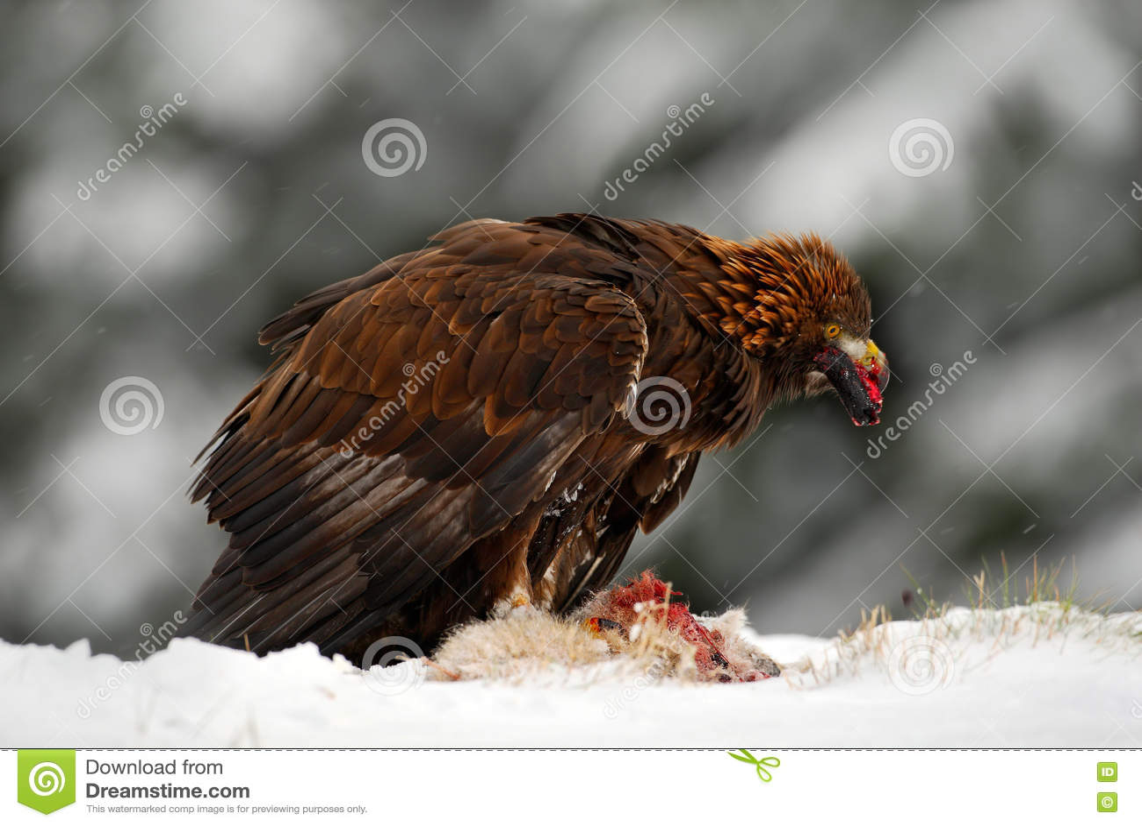 wildlife feeding scene from the nature golden eagle bird of prey