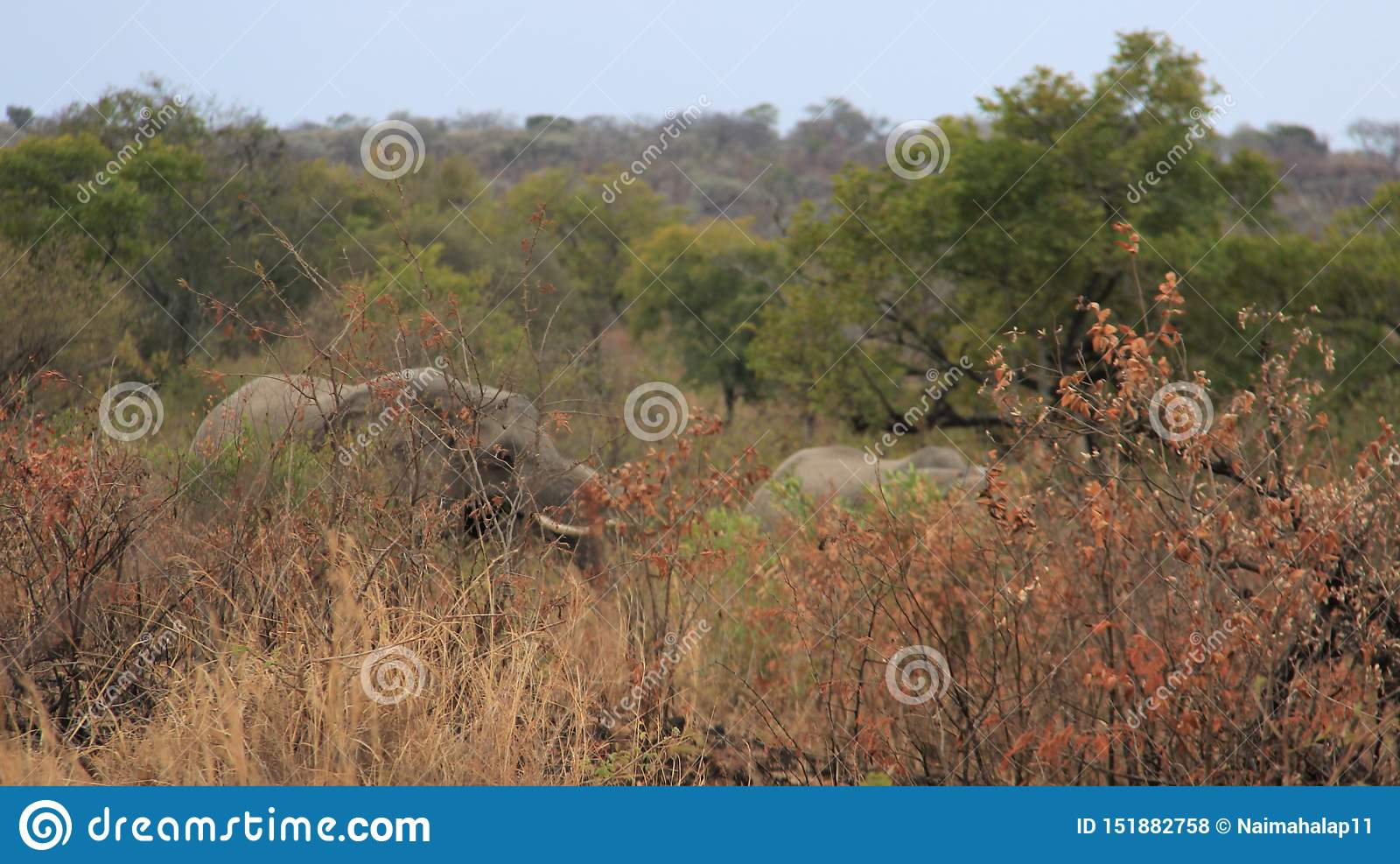 Forest And Long Tusk Africa Wild Elephants