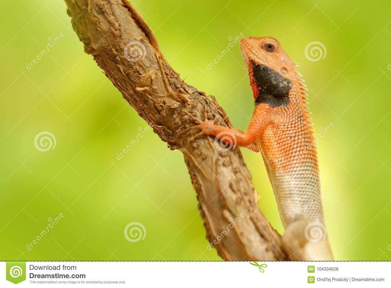 Wildlife India. Indian Garden Lizard Calotes versicolor, detail eye portrait of exotic tropic animal in the green nature habitat.