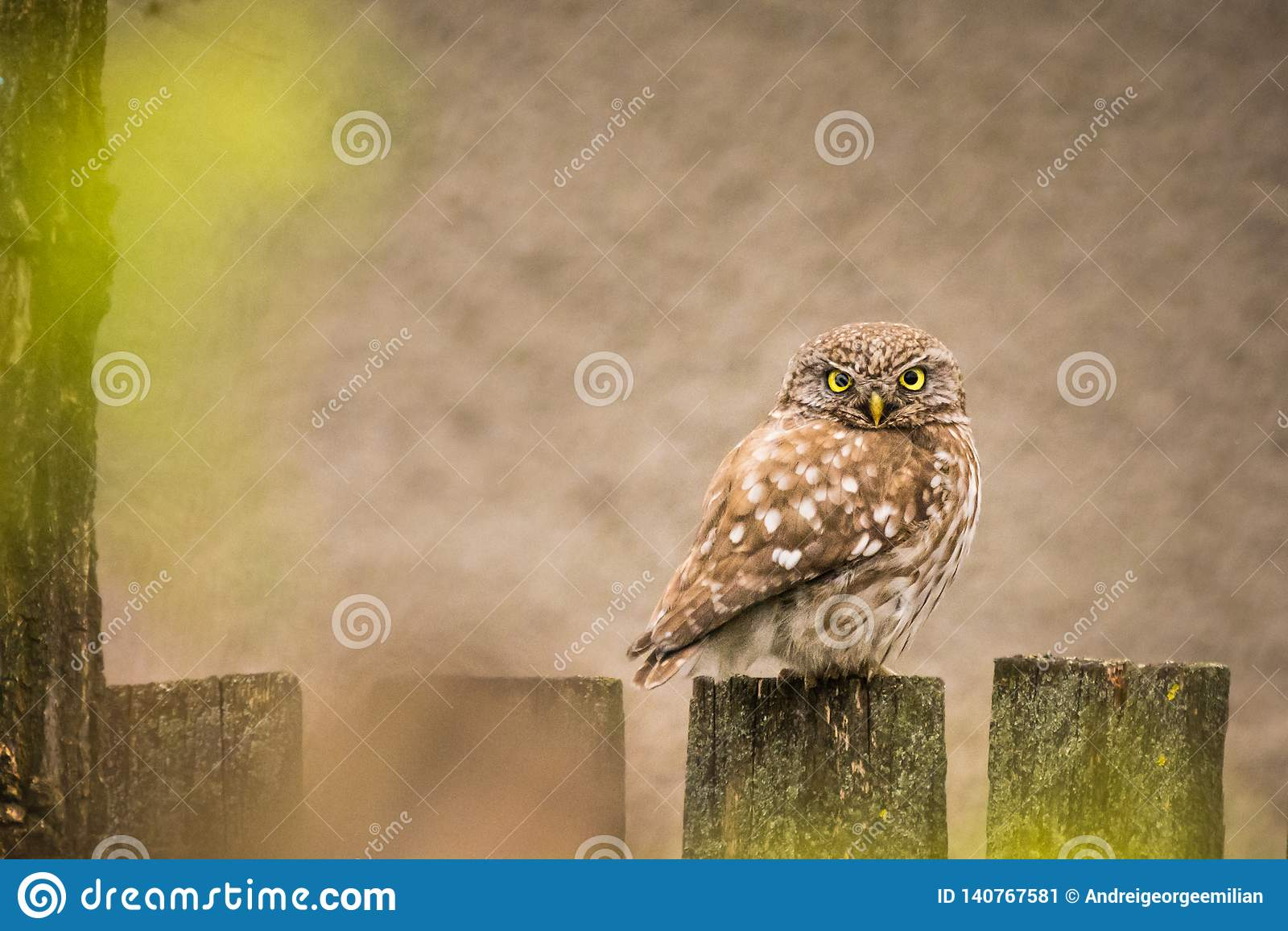 Wildlife - Little Owl on a fence
