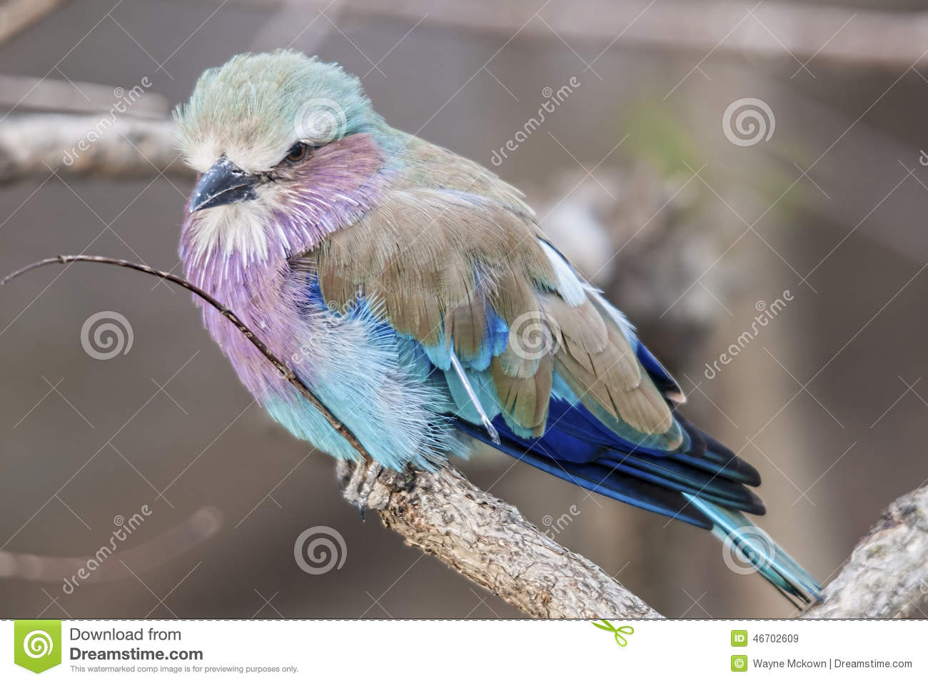 Download Wildlife Photography Of A African Lilac Breasted Roller Bird Stock Image - Image of nature, african: 46702609