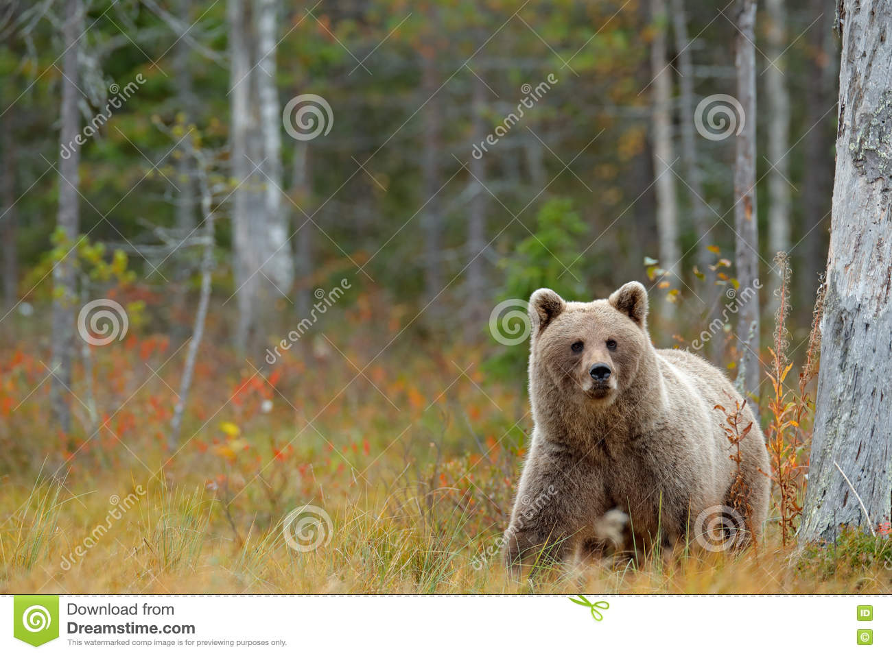 Wildlife scene from Finland near Russia bolder. Autumn forest with bear. Beautiful brown bear walking around lake with autumn colo