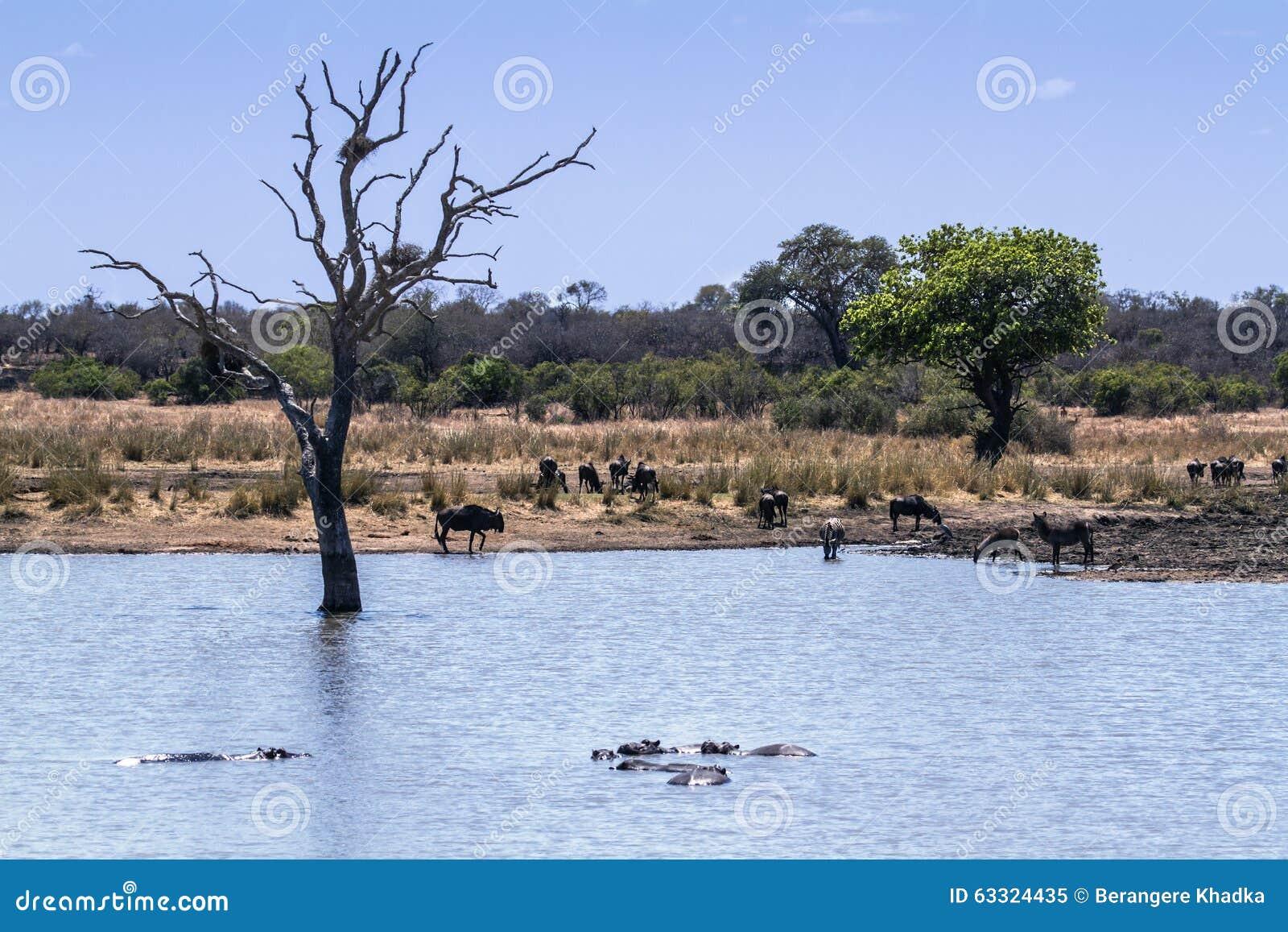 wildlife and veld landscape in kruger national park stock