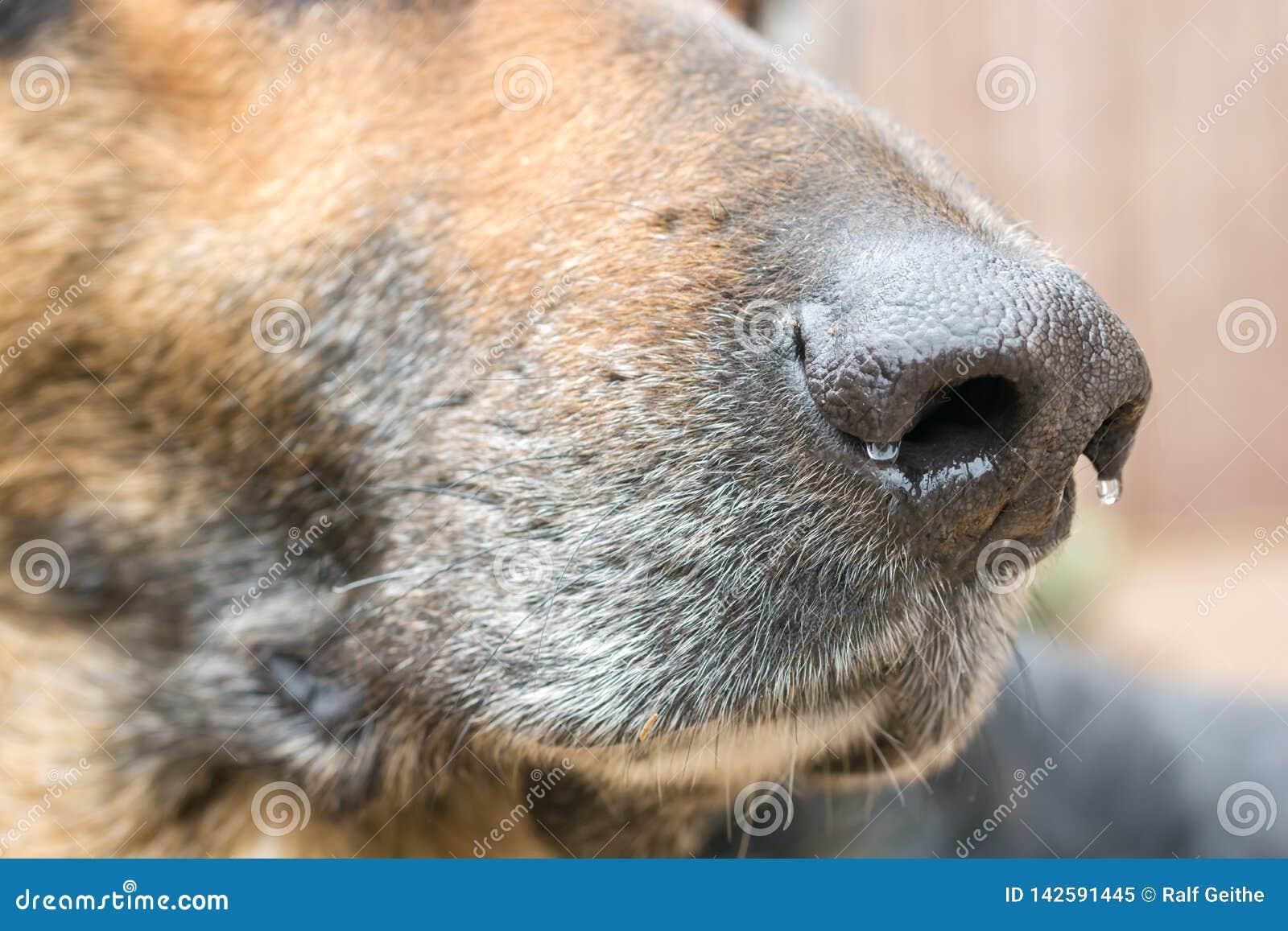 Wilgotny psi nos pasterski pies jako wyczulony sensualny organ z wielkim sensem odór