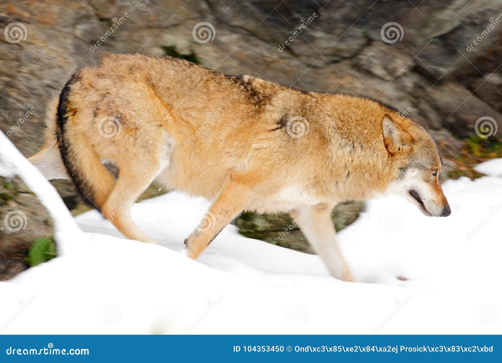 Wilk w śnieżnej rockowej górze, Europa Zimy przyrody scena od natury Śnieżna zima z wilkiem Szary wilk, Canis lupus, portret w
