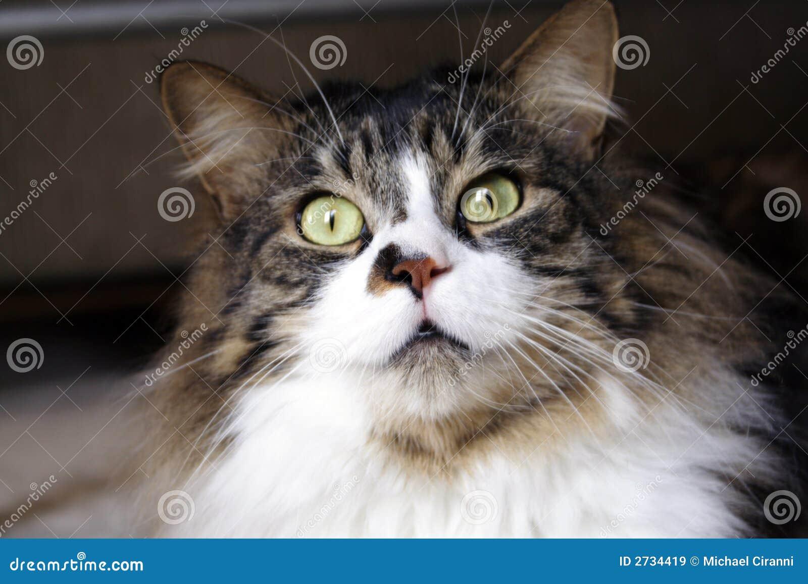 Willie il gatto immagine stock immagine di felino for Gatto della foresta norvegese