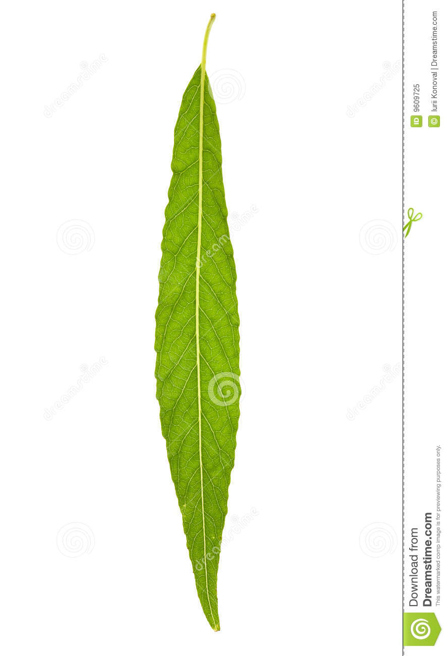 Willow Leaf Royalty Free Stock Photo - Image: 9609725