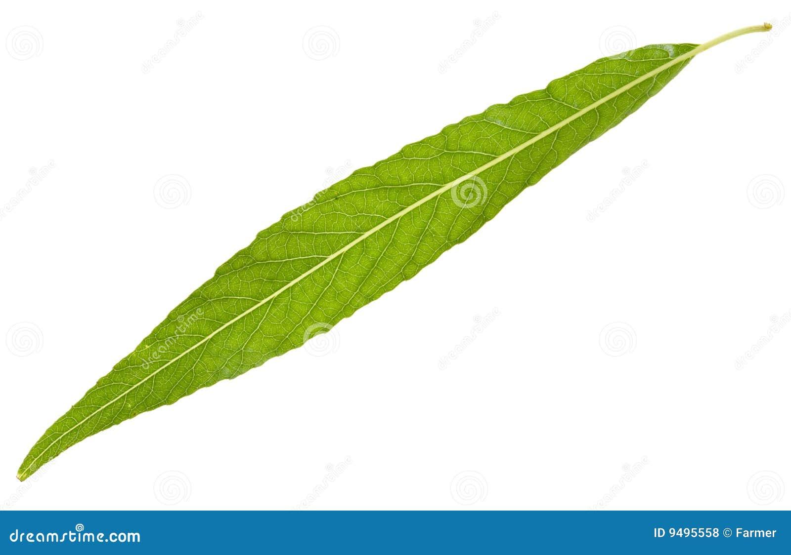 Рисованные листья ивы