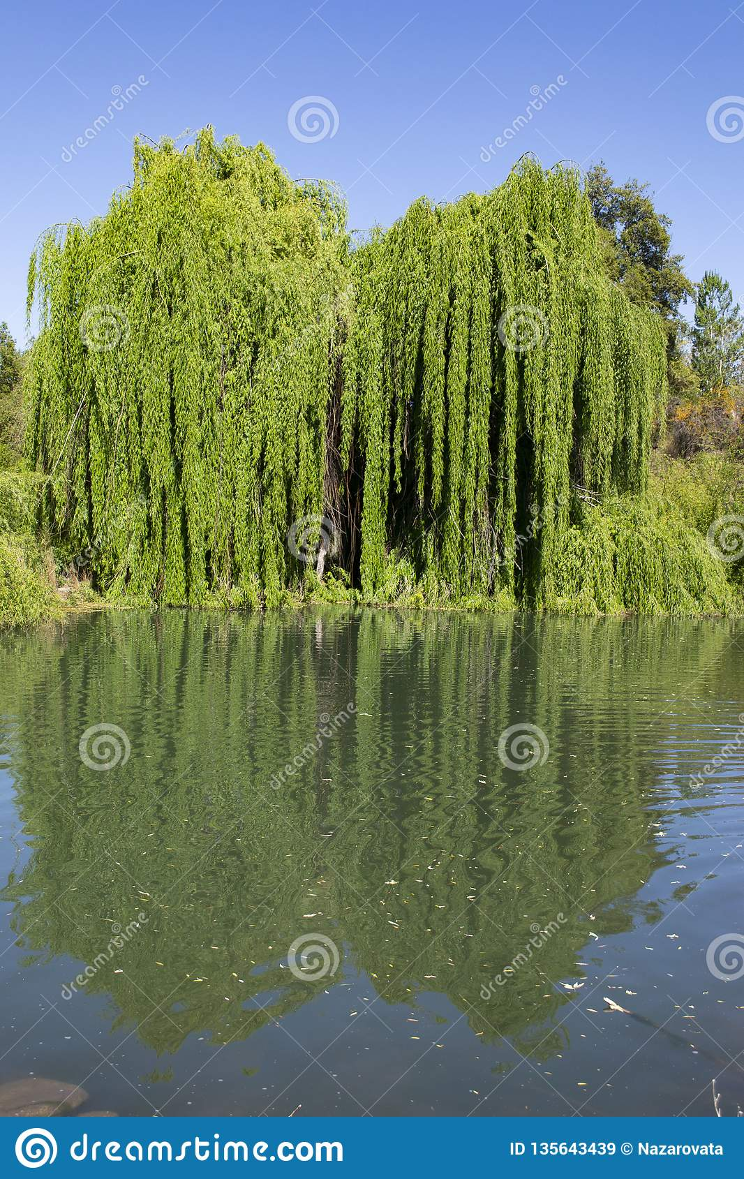 Willow by the pond