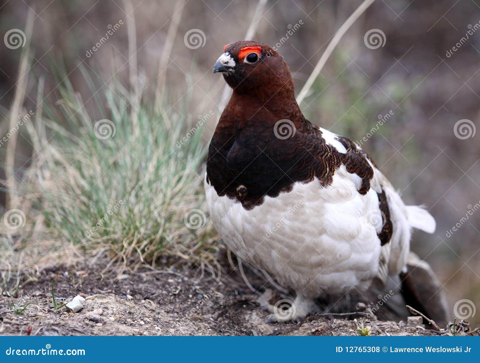 Willow Ptarmigan Alaska State Bird Royalty Free Stock s Image