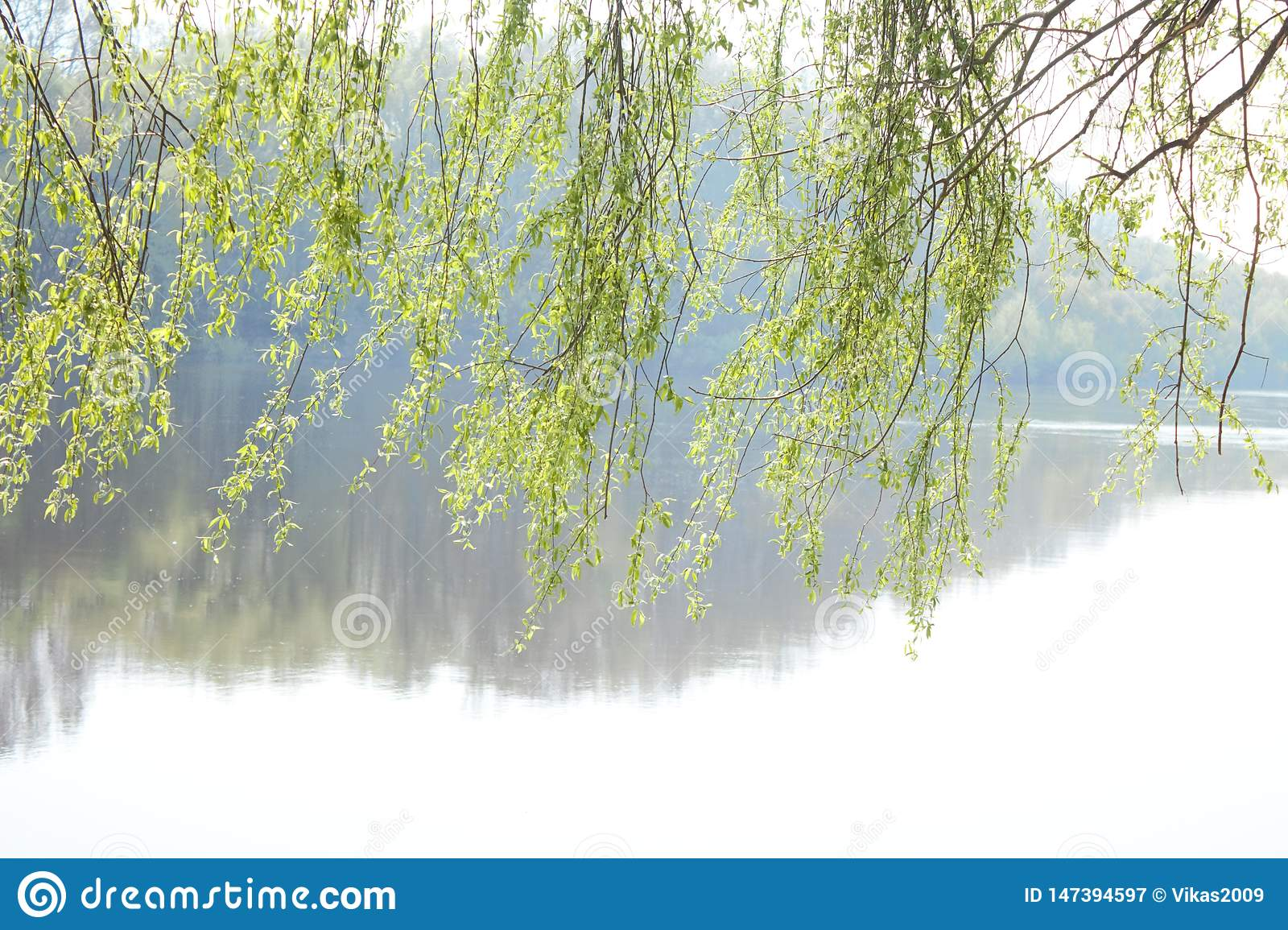 Willow and river. Willow branches above the water