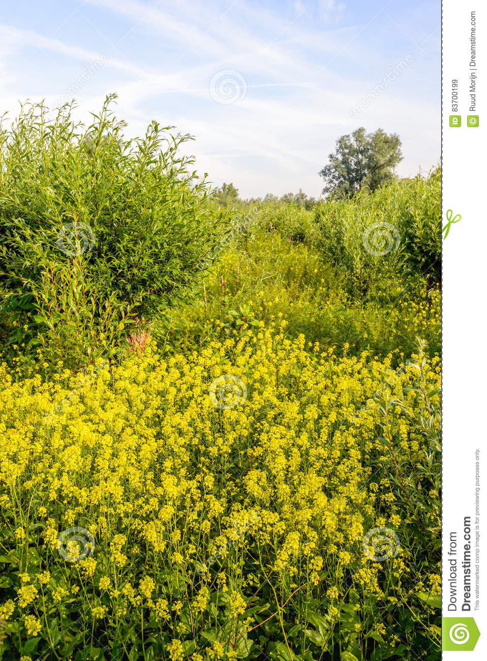 Willow shrubs and yellow flowering rapeseed in a nature reserve download willow shrubs and yellow flowering rapeseed in a nature reserve stock image image of mightylinksfo