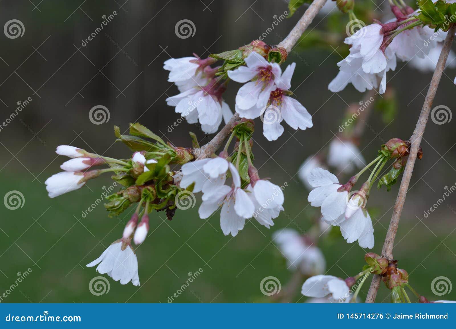 Willow Tree Blossoms que llora