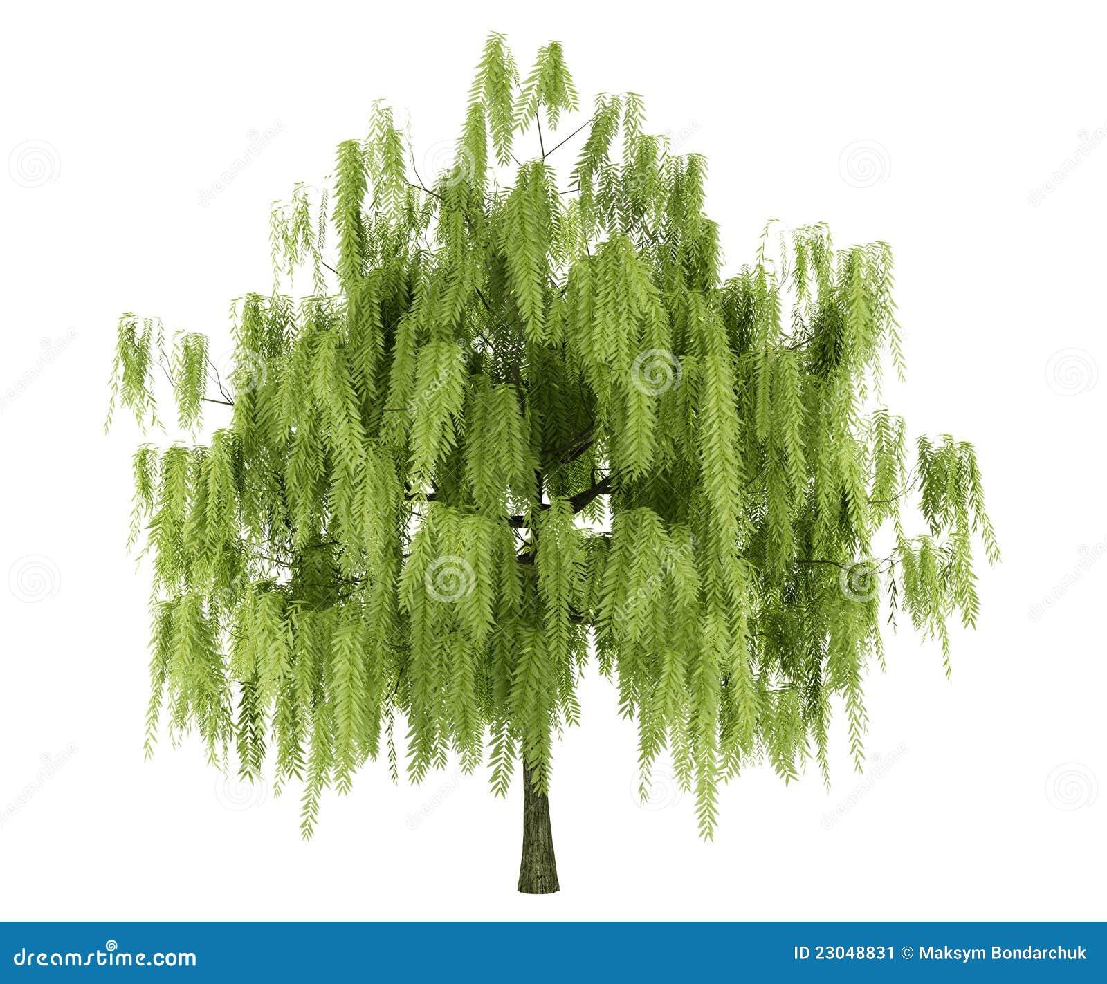 Willow Tree Isolated On White Stock Illustration - Illustration of ...